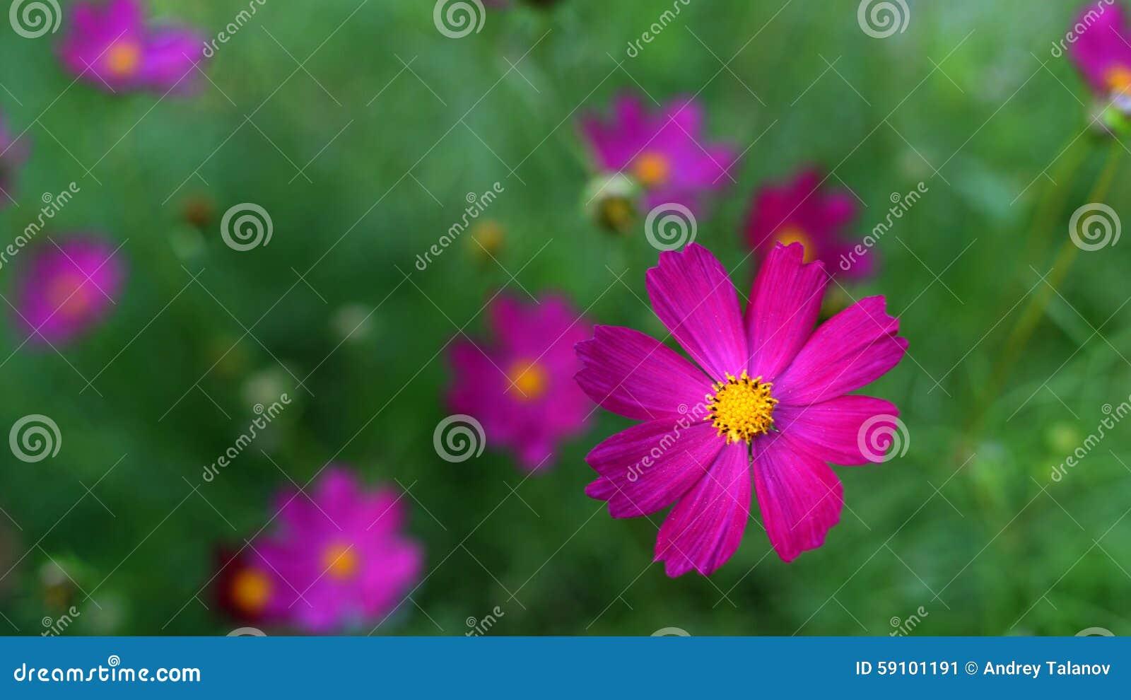 波斯菊bipinnatus