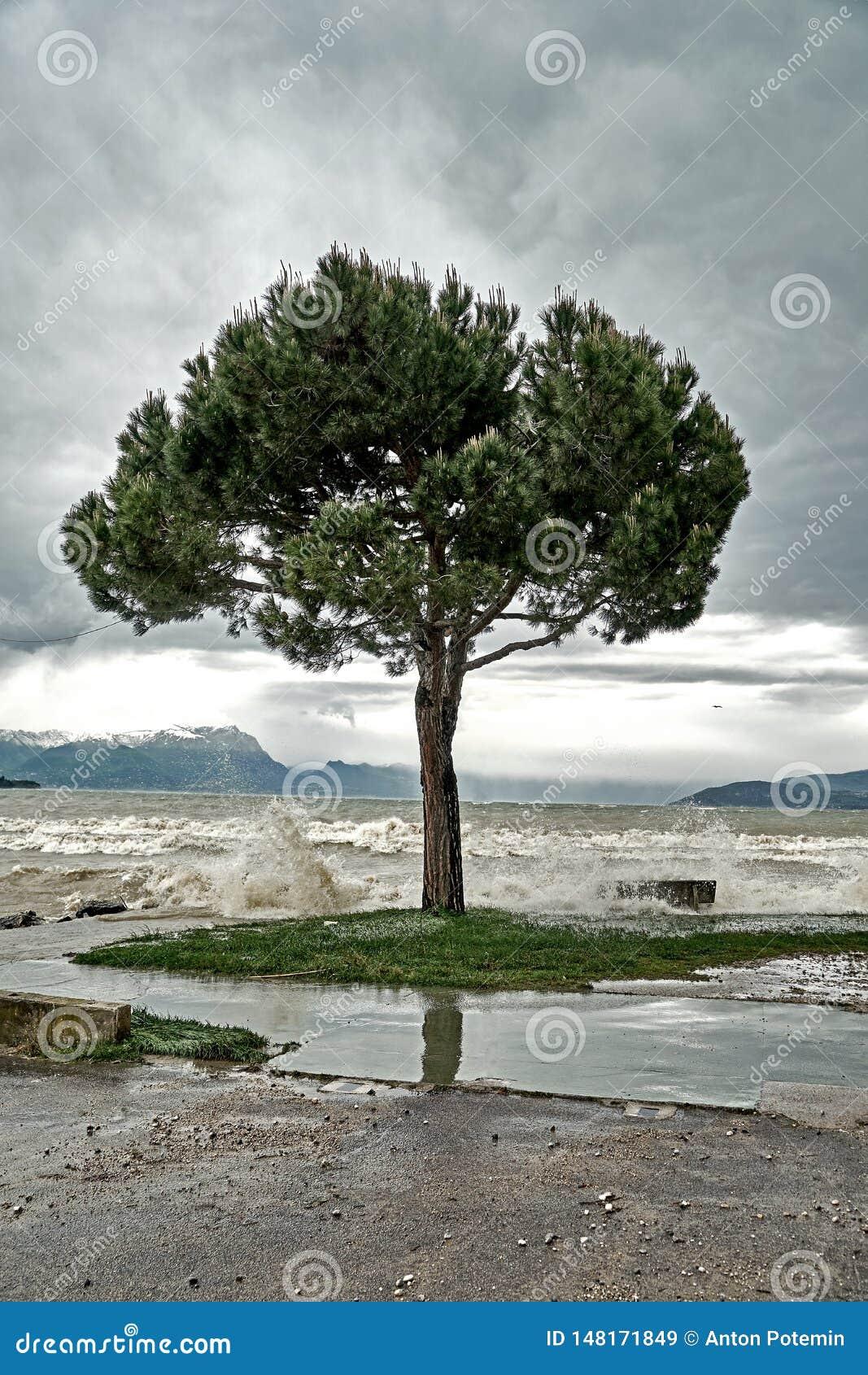 波浪在加尔达湖的堤防打破在风暴期间并且倾吐一棵偏僻的树