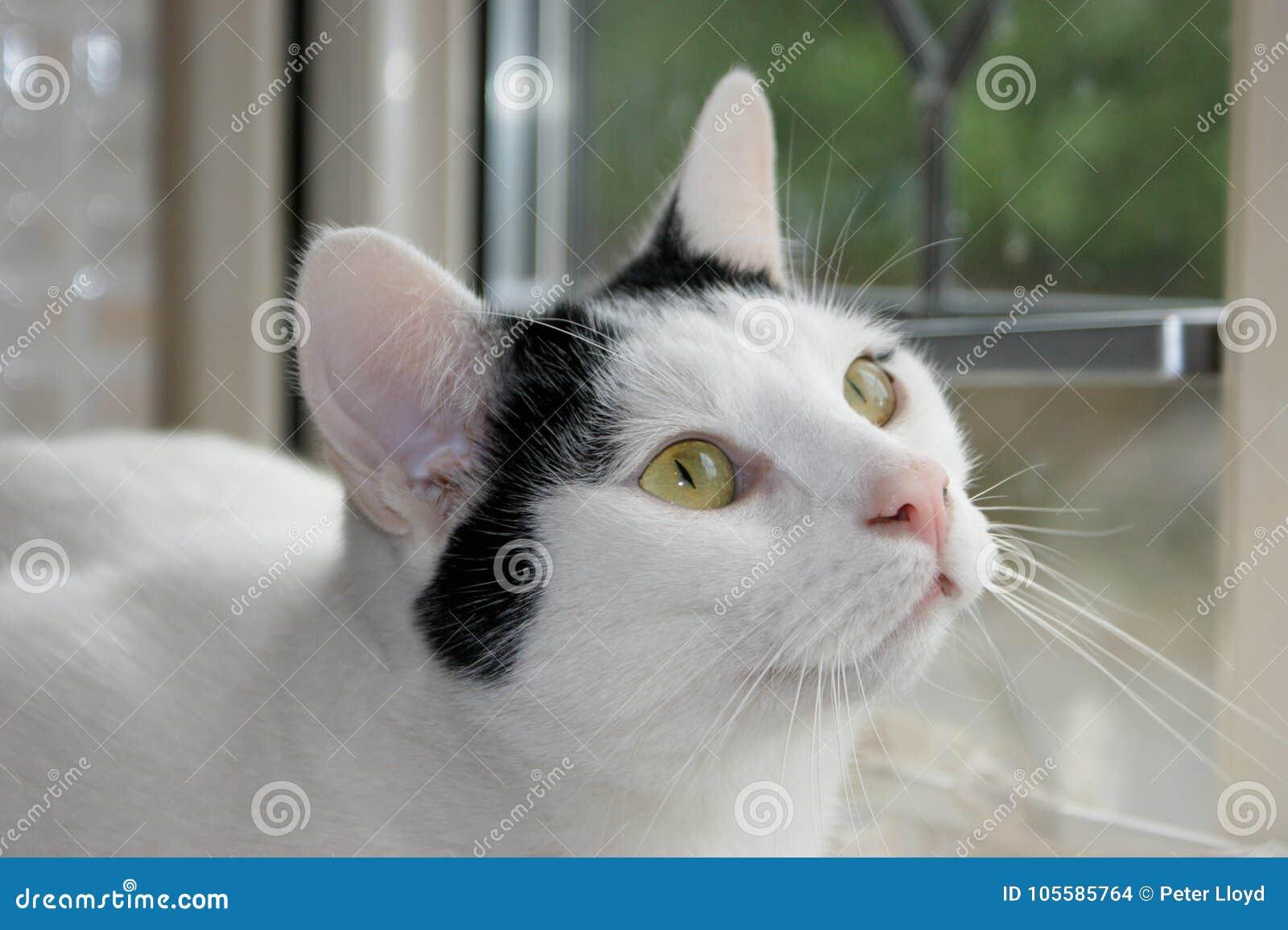 注视入所有者` s的猫注视