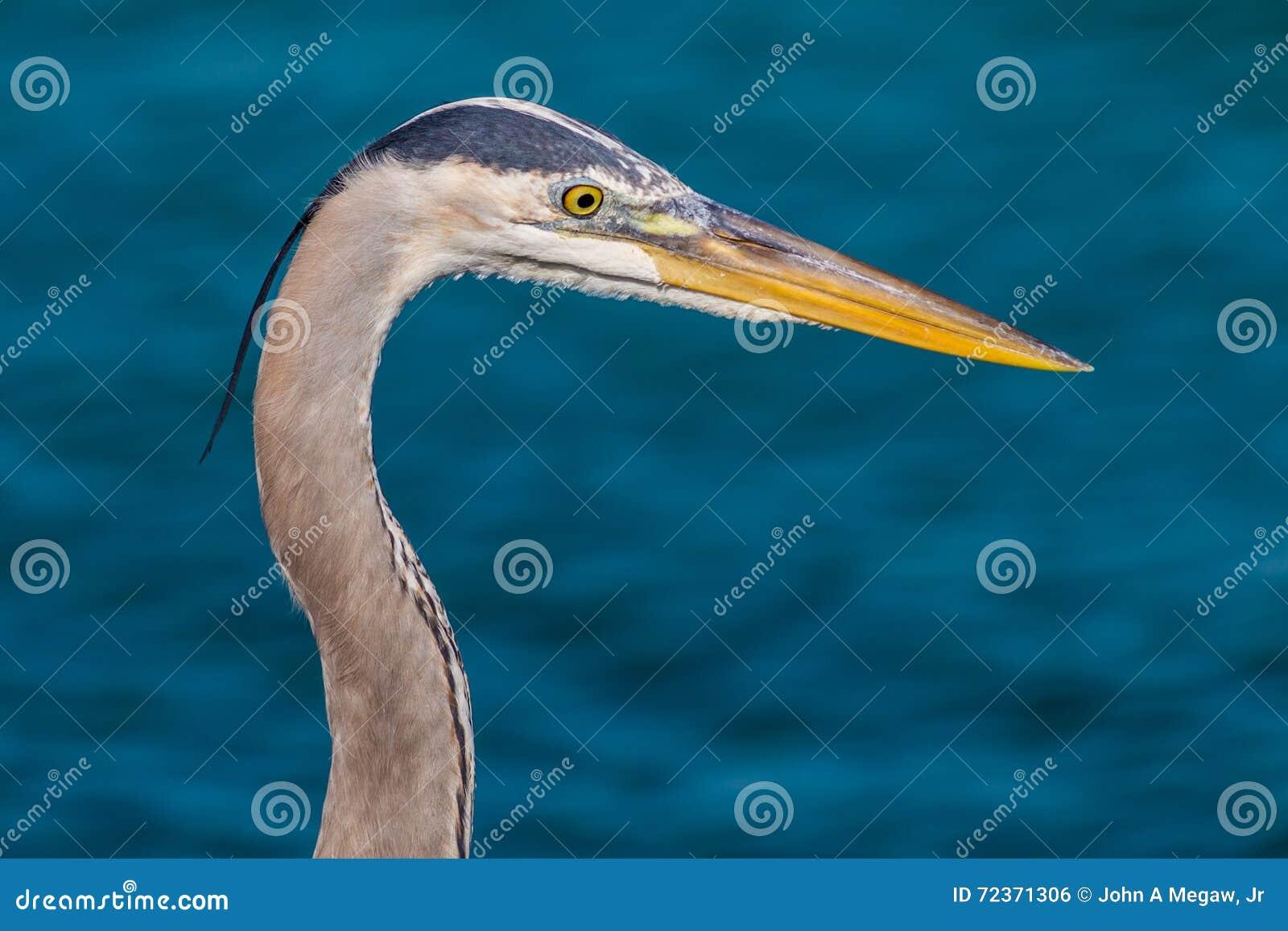 注视鱼的蓝色苍鹭