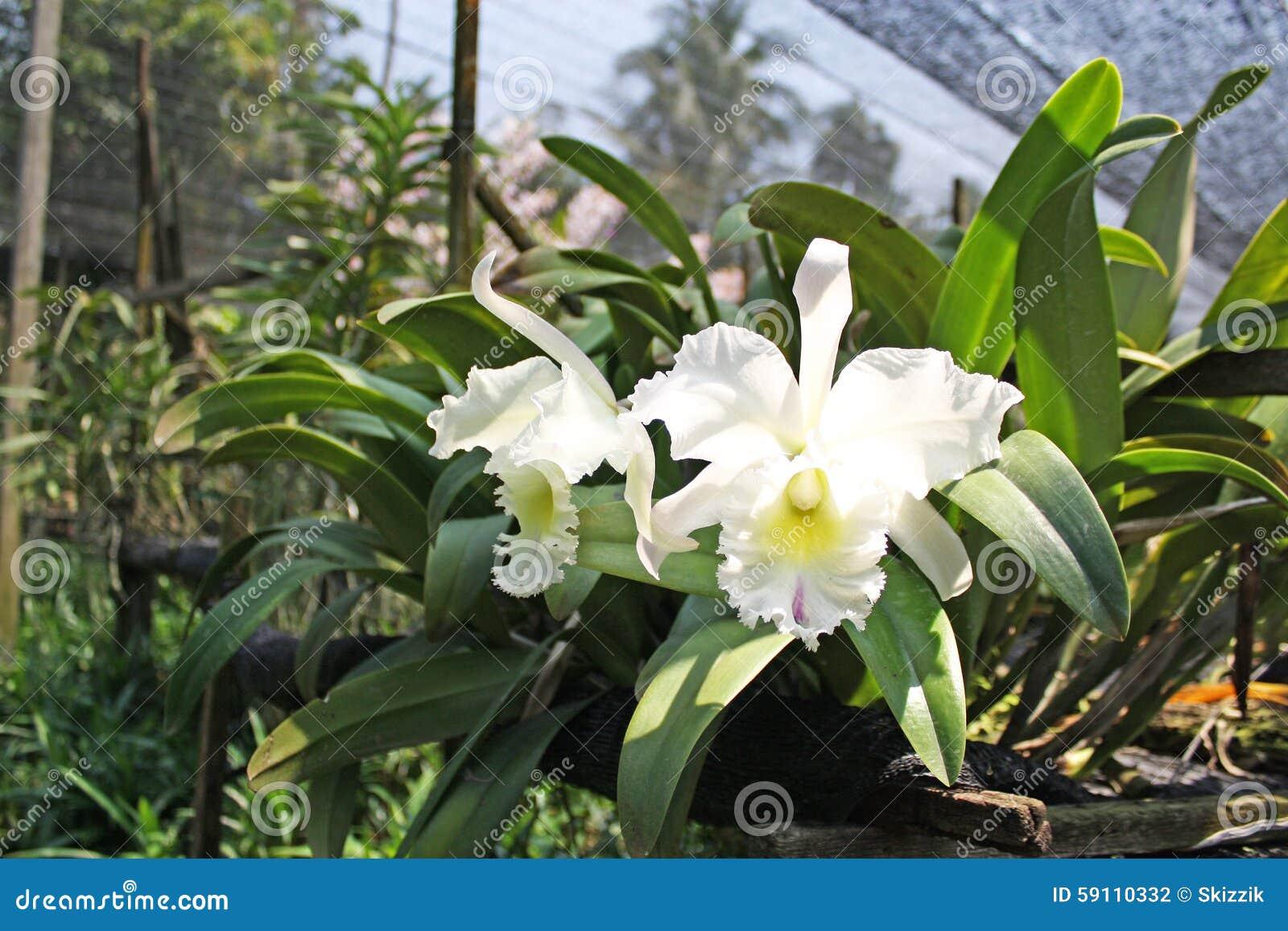 泰国兰花花22