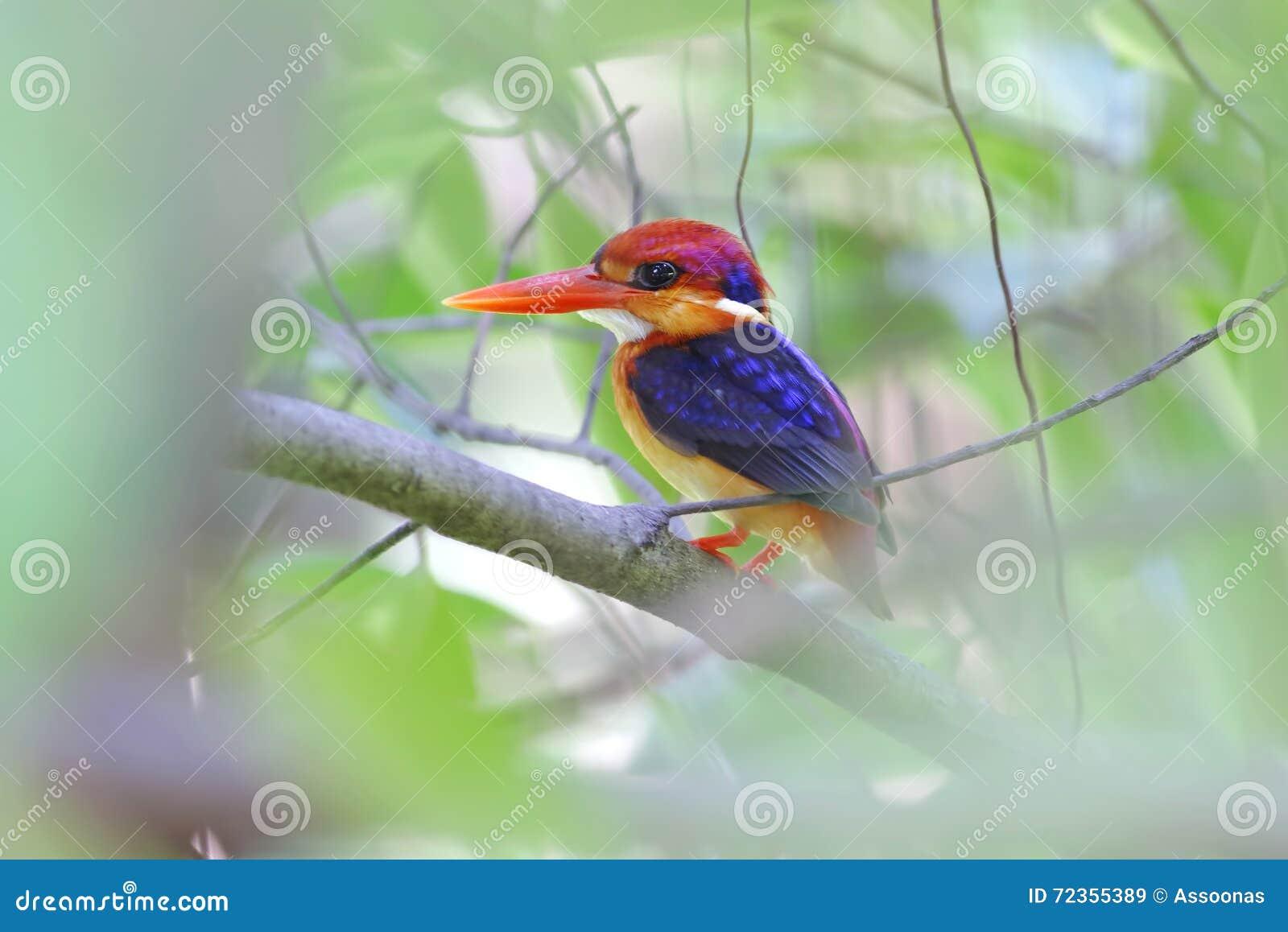 泰国的东方矮小的翠鸟Ceyx erithaca鸟