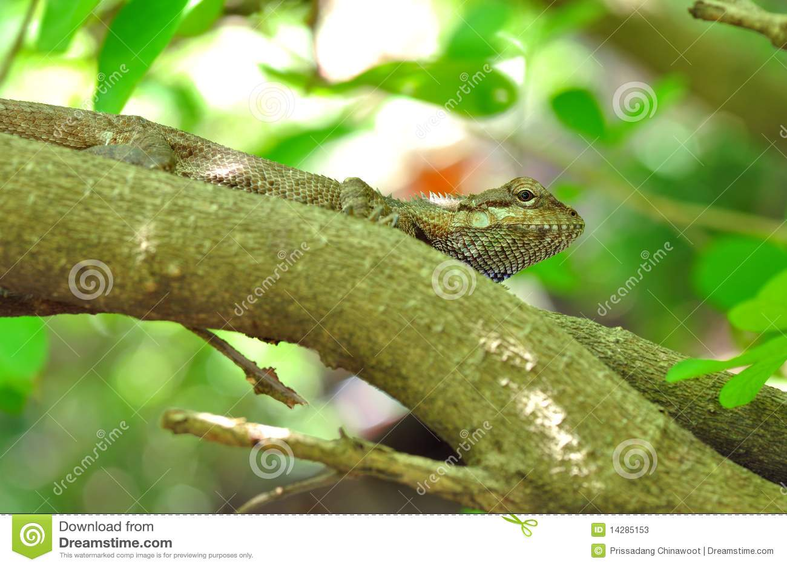 泰国的变色蜥蜴