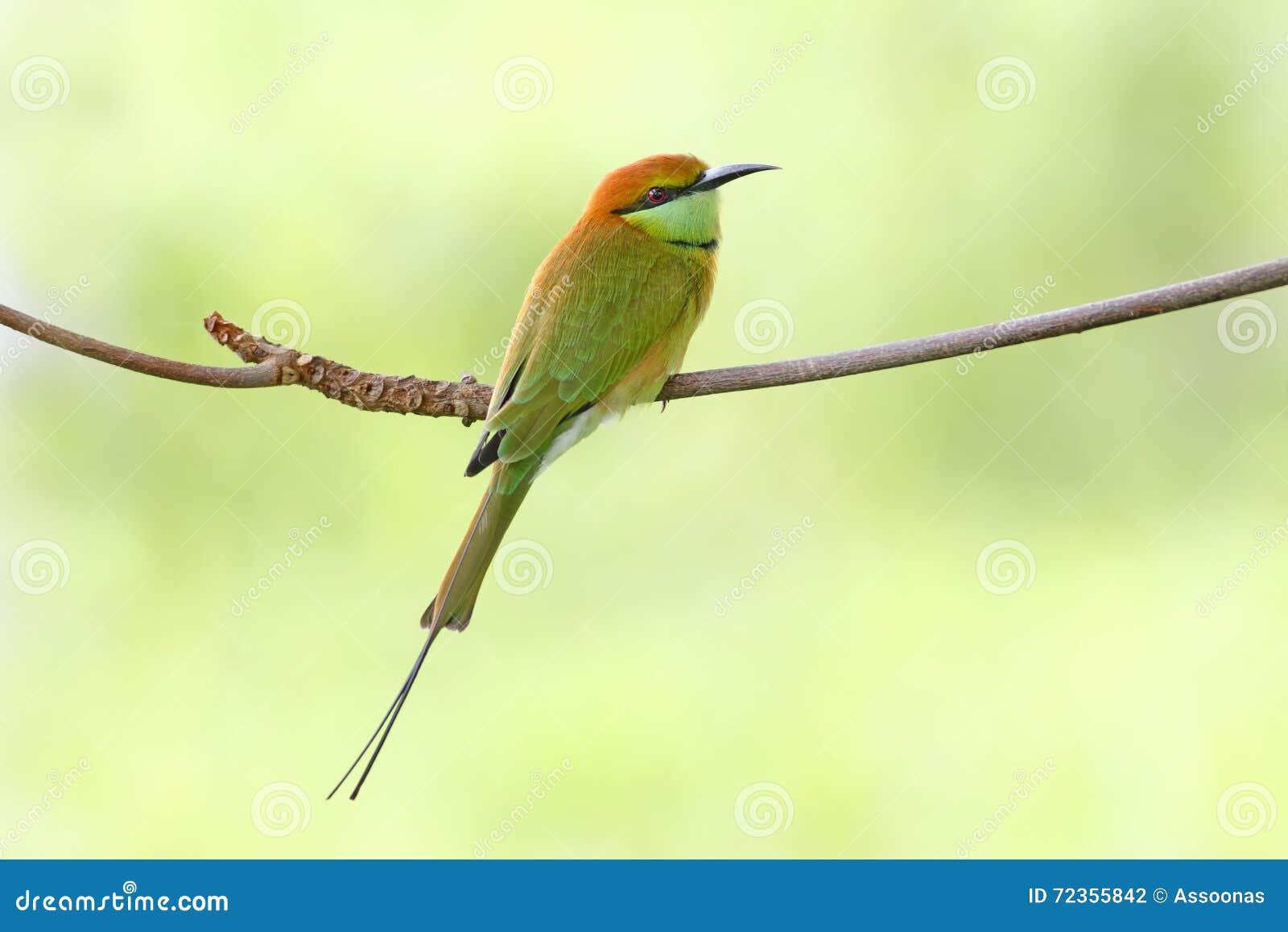 泰国的绿色食蜂鸟食蜂鸟属orientalis鸟