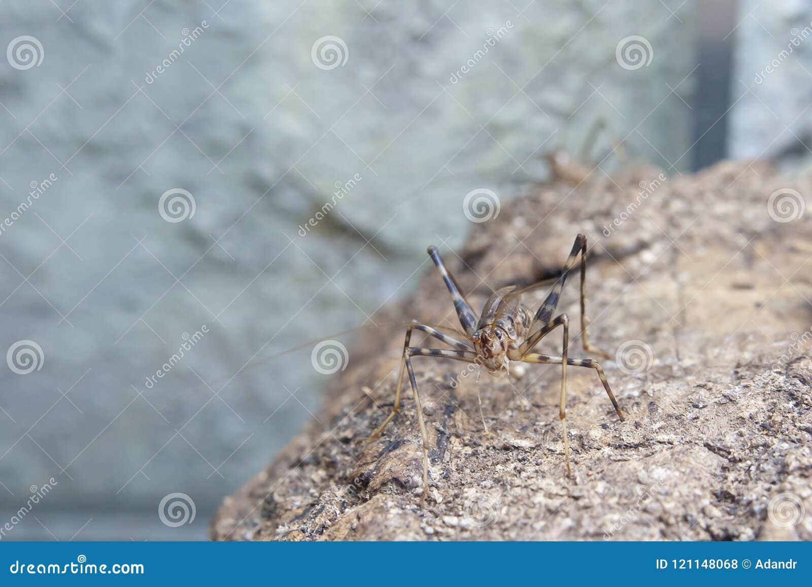 洞蟋蟀坐石头