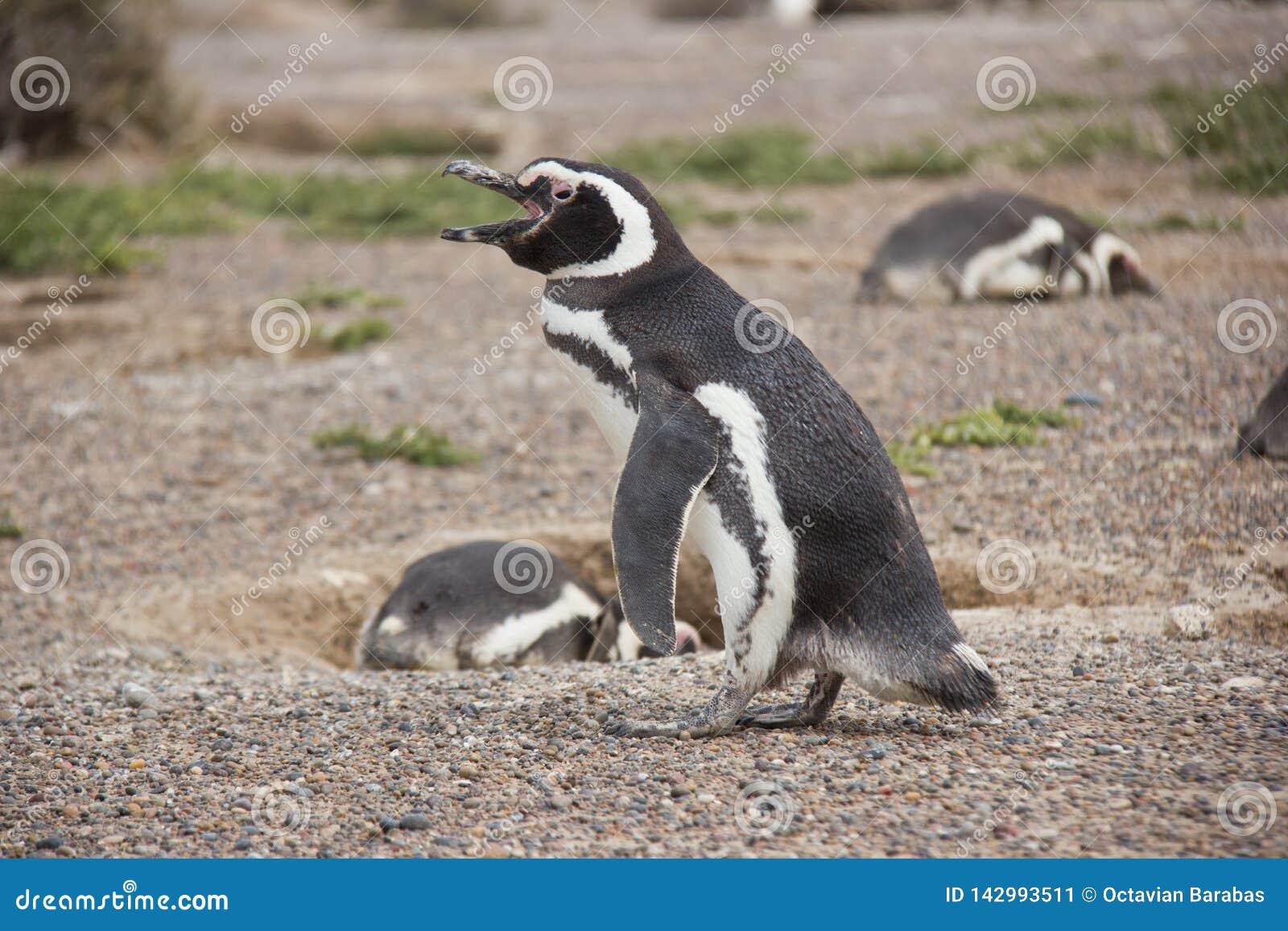 洪堡企鹅在叫的殖民地走和