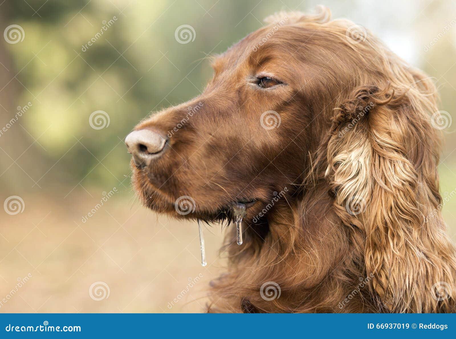 流口水的困爱尔兰人的特定装置狗画象.图片