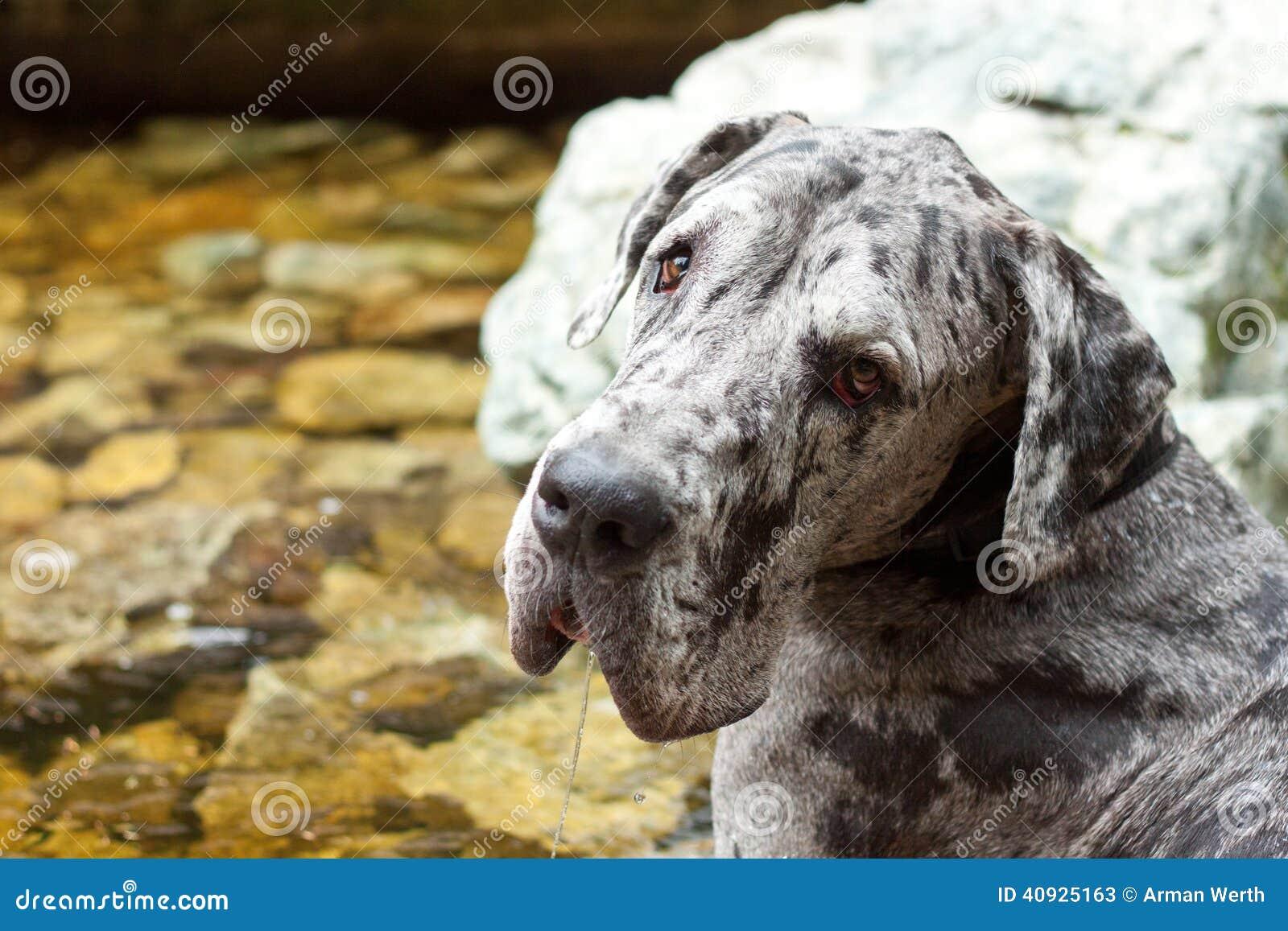 流口水的丹麦种大狗