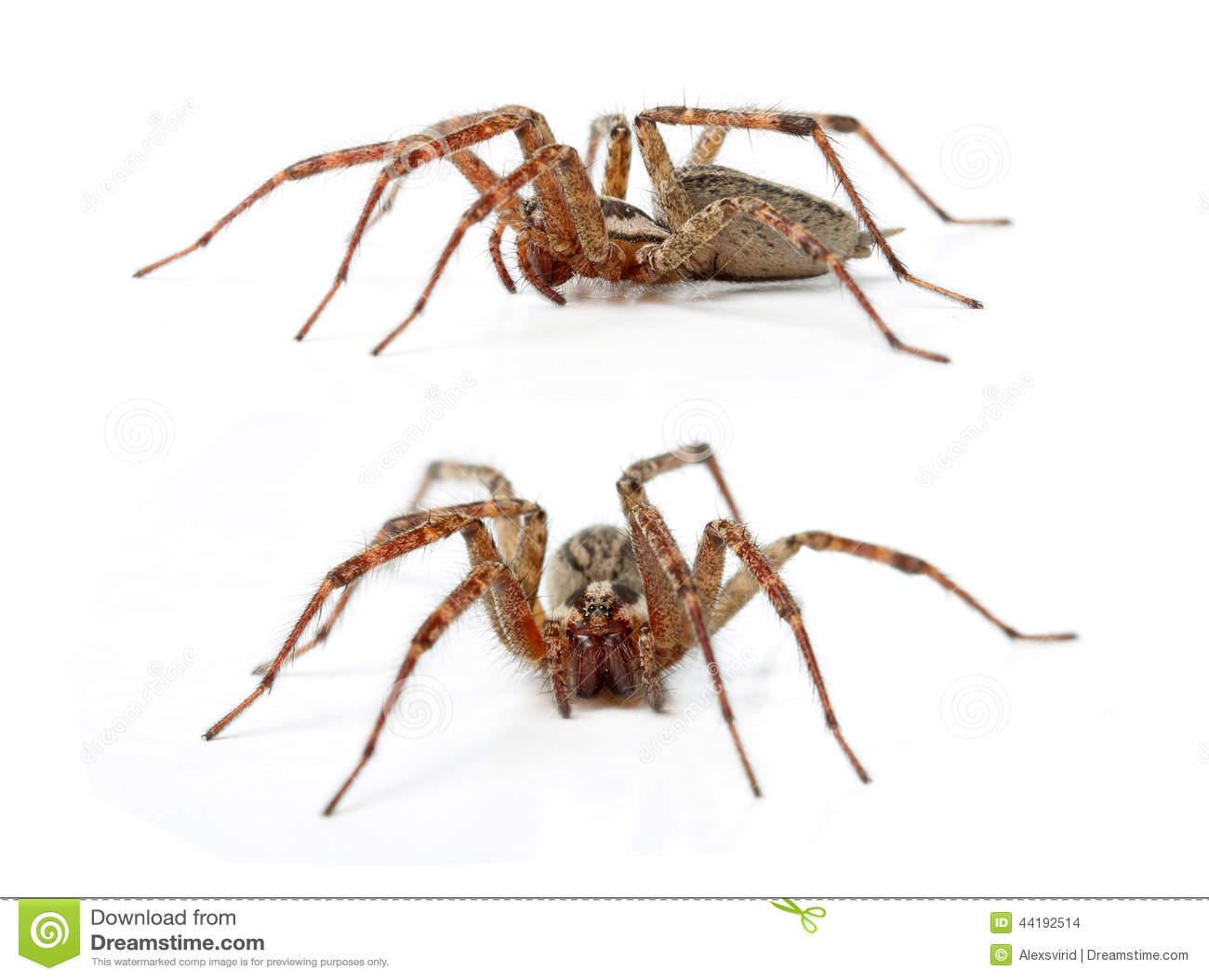 流浪汉蜘蛛, Tegenaria Agrestis