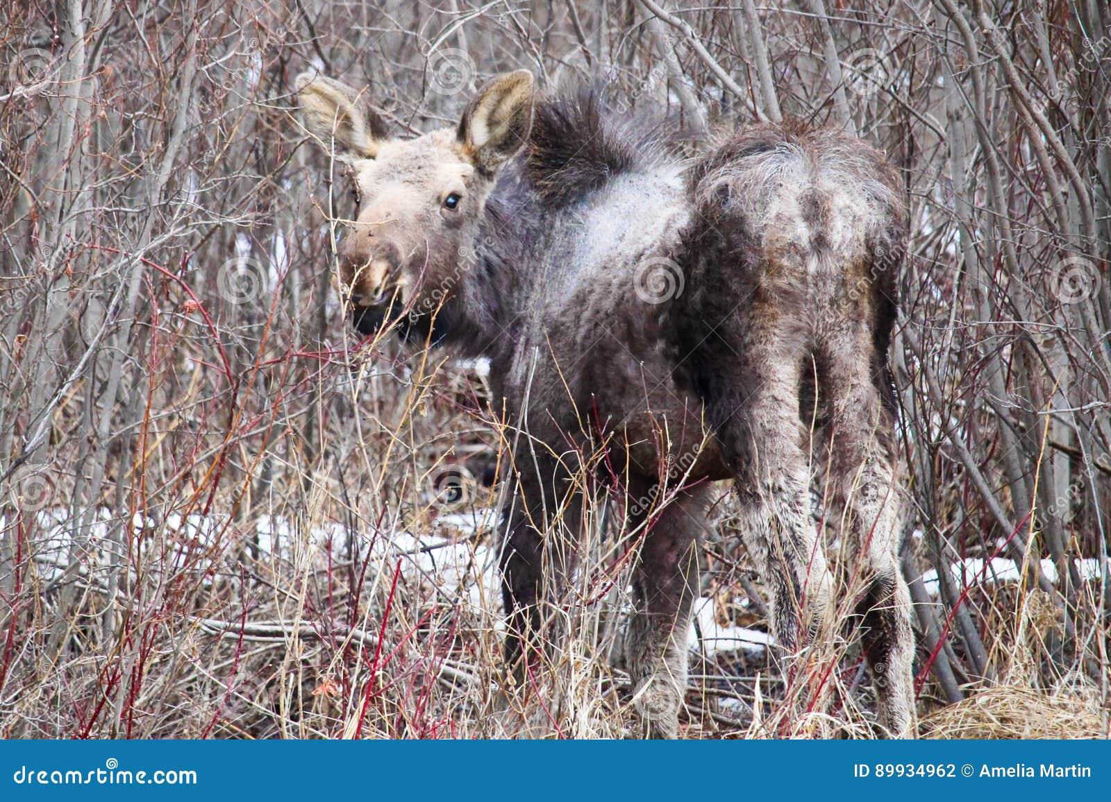 流洒它的冬天外套的孤立的麋小牛
