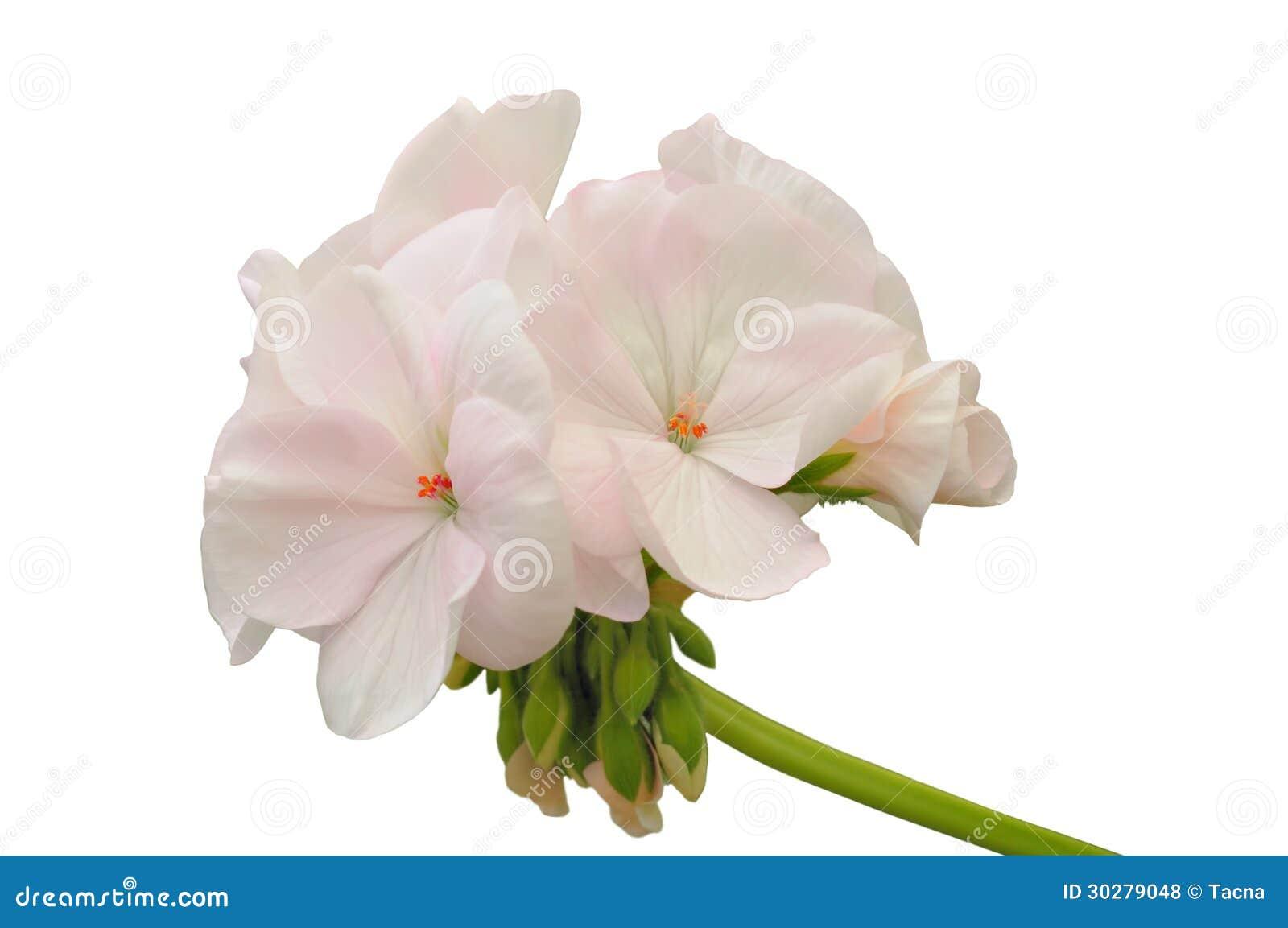 浅粉红色的大竺葵