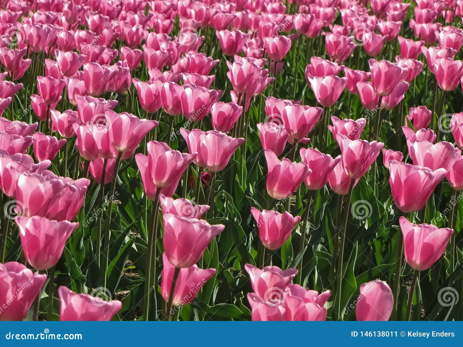 浅粉红色的郁金香2群