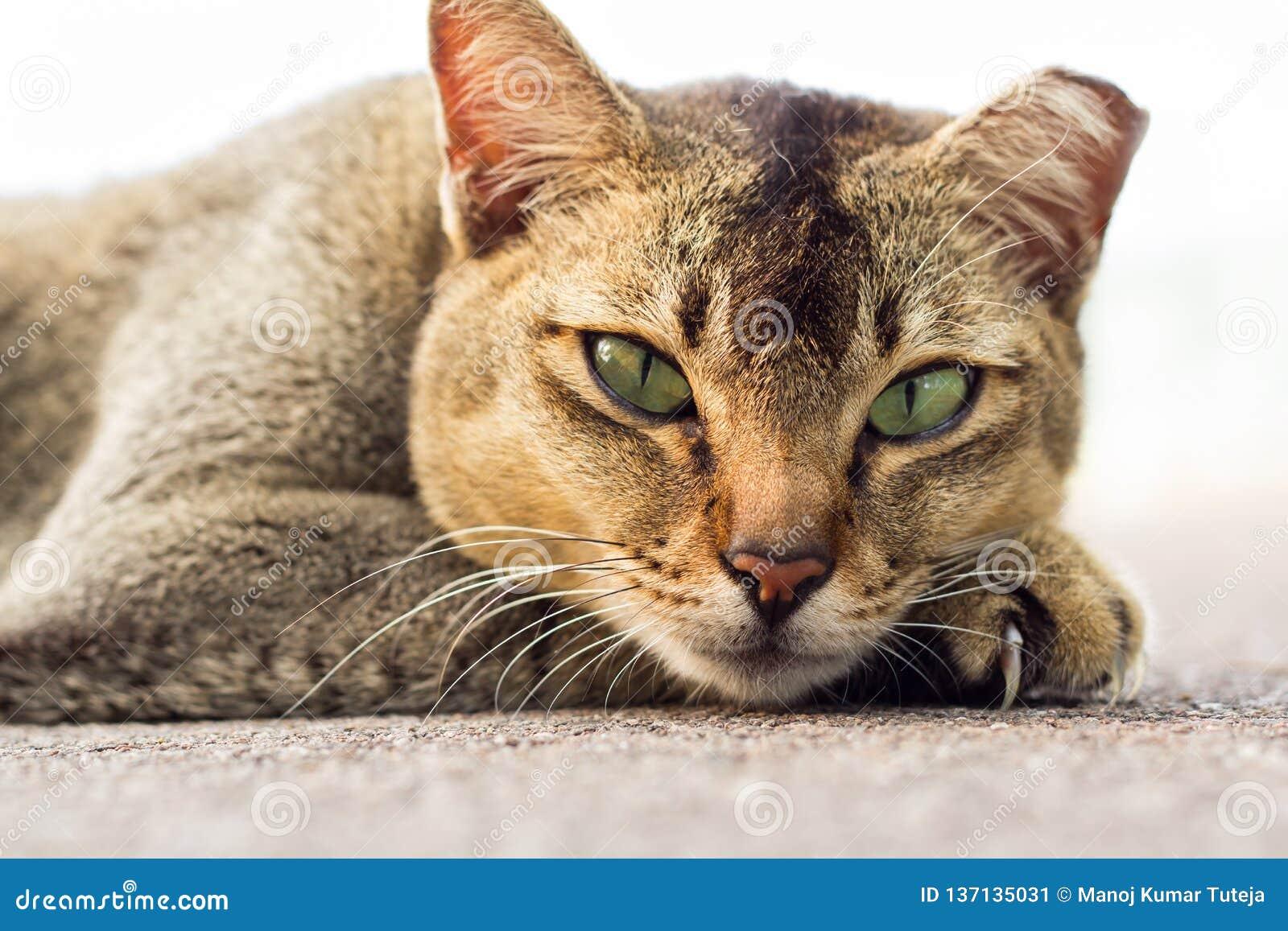浅褐色的与说谎在地板上的嫉妒的颜色家养的离群猫调查照相机有白色背景