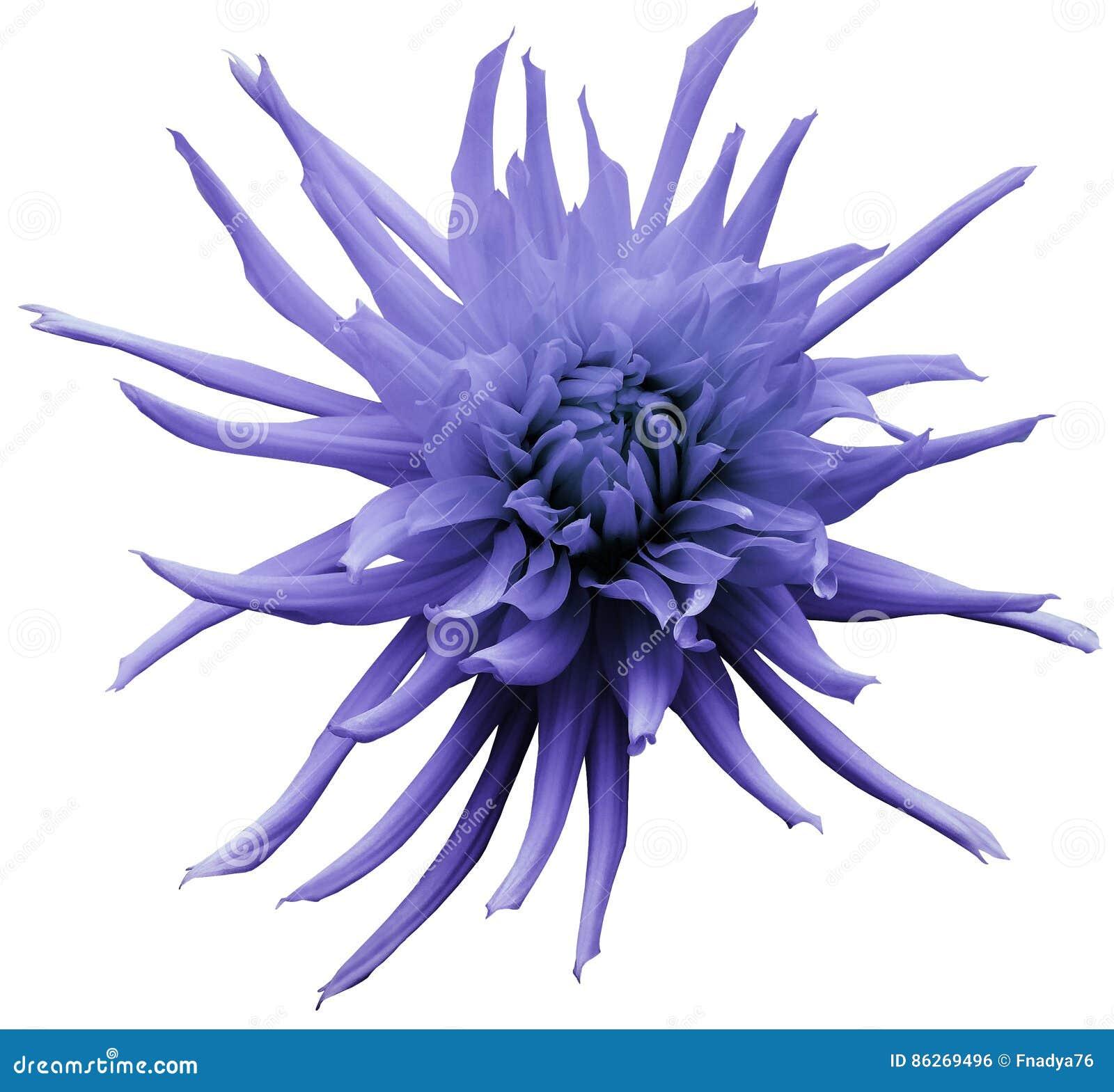 浅紫色的大丽花花,白色隔绝了与裁减路线的背景 特写镜头 没有影子 对设计 明亮的粗野的流程
