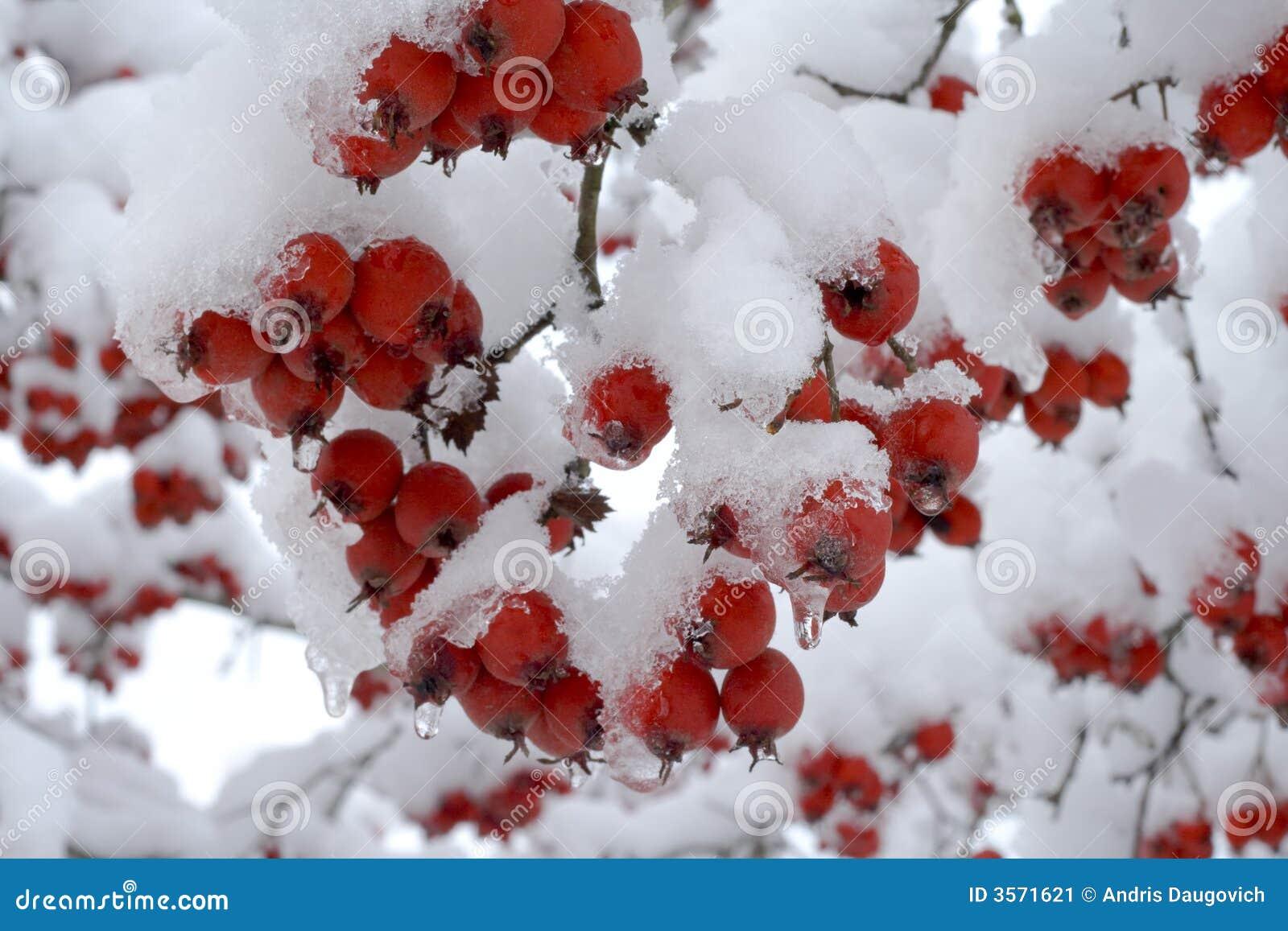 浆果下雪下