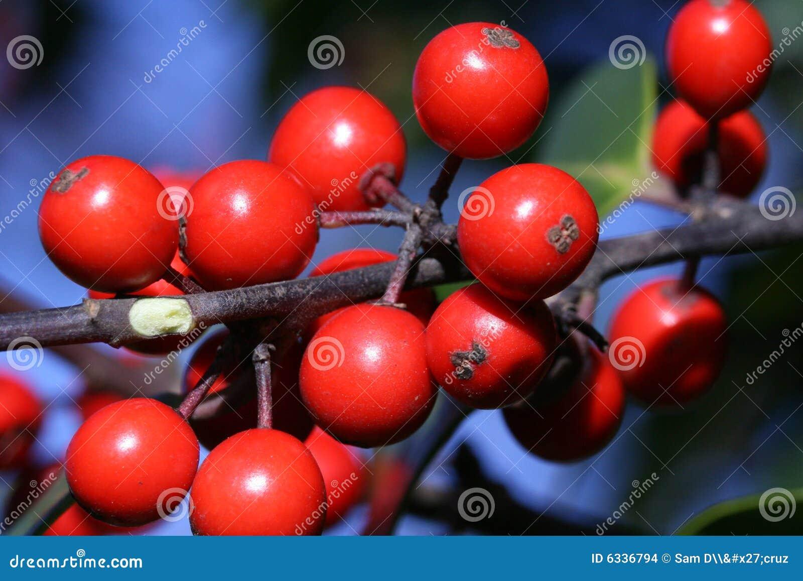 浆果加拿大森林霍莉水多的红色成熟结构树.图片