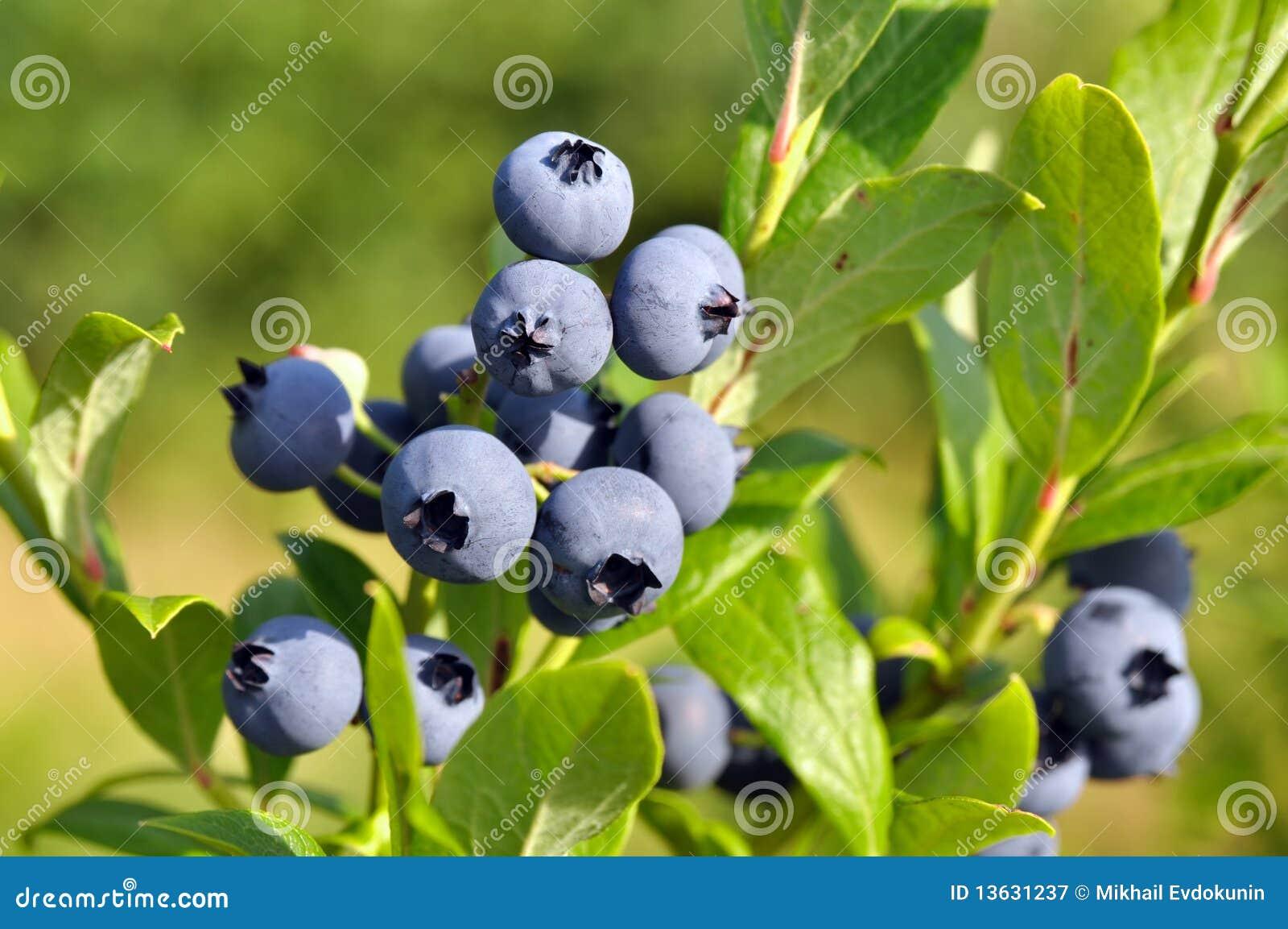 浆果蓝莓灌木