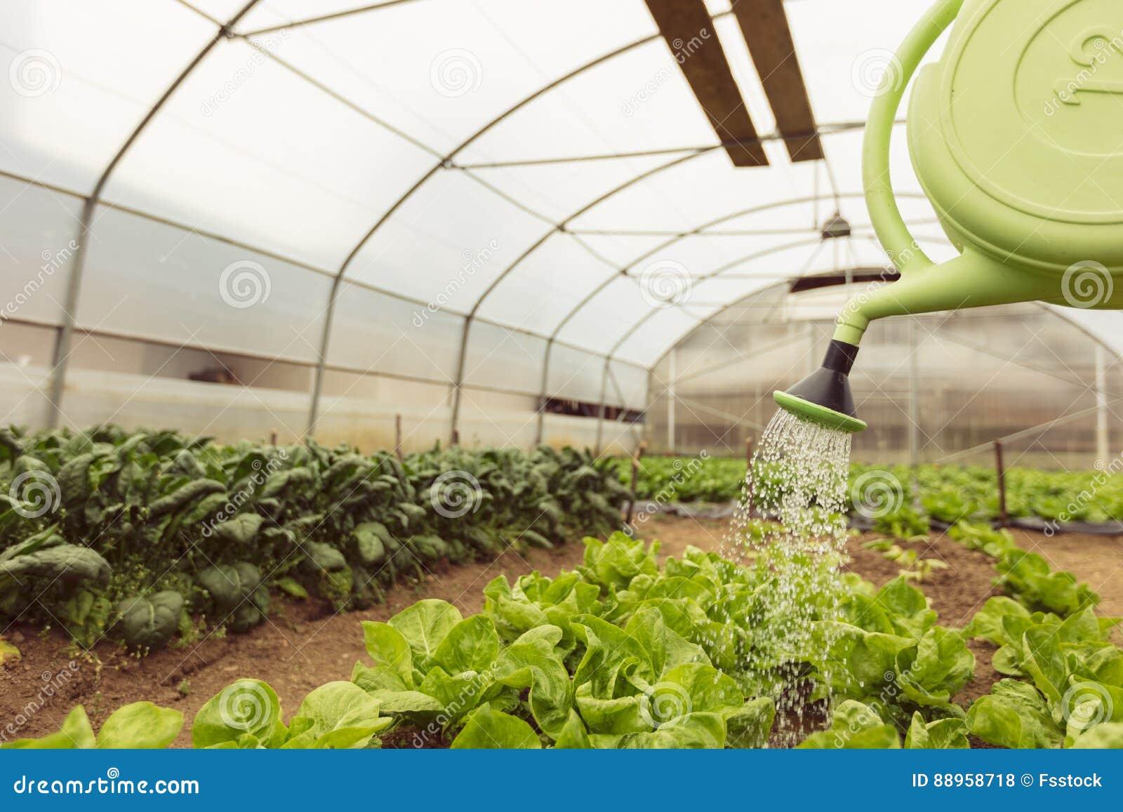 浇灌蔬菜沙拉的少妇自温室春天