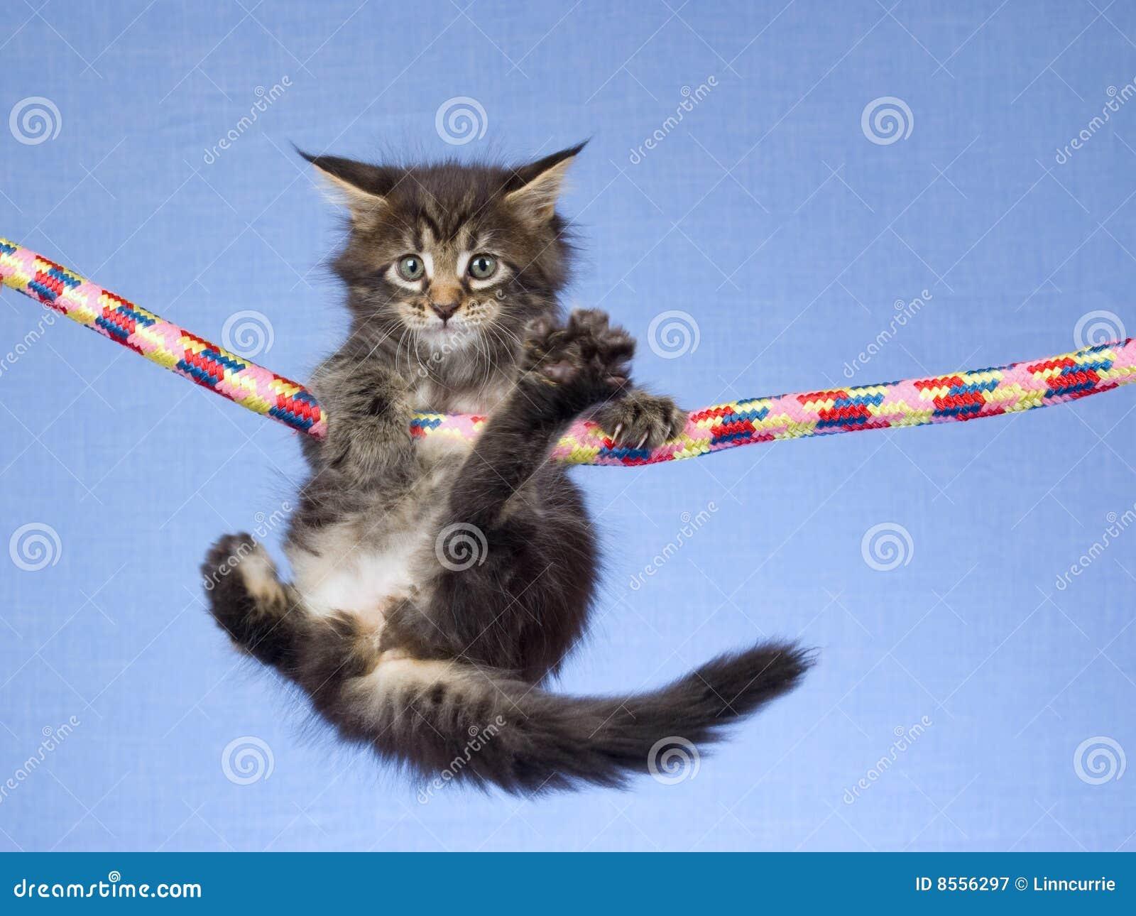 浣熊逗人喜爱的停止的小猫缅因绳索