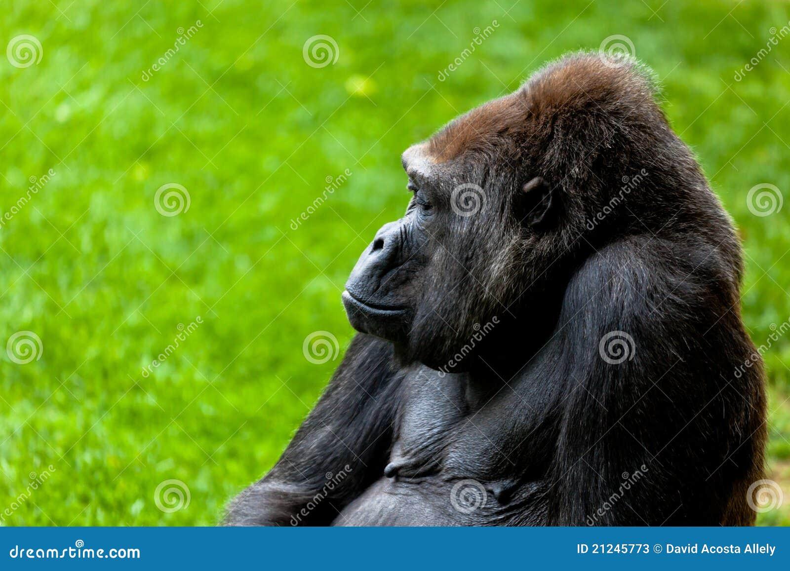 海岸大猩猩
