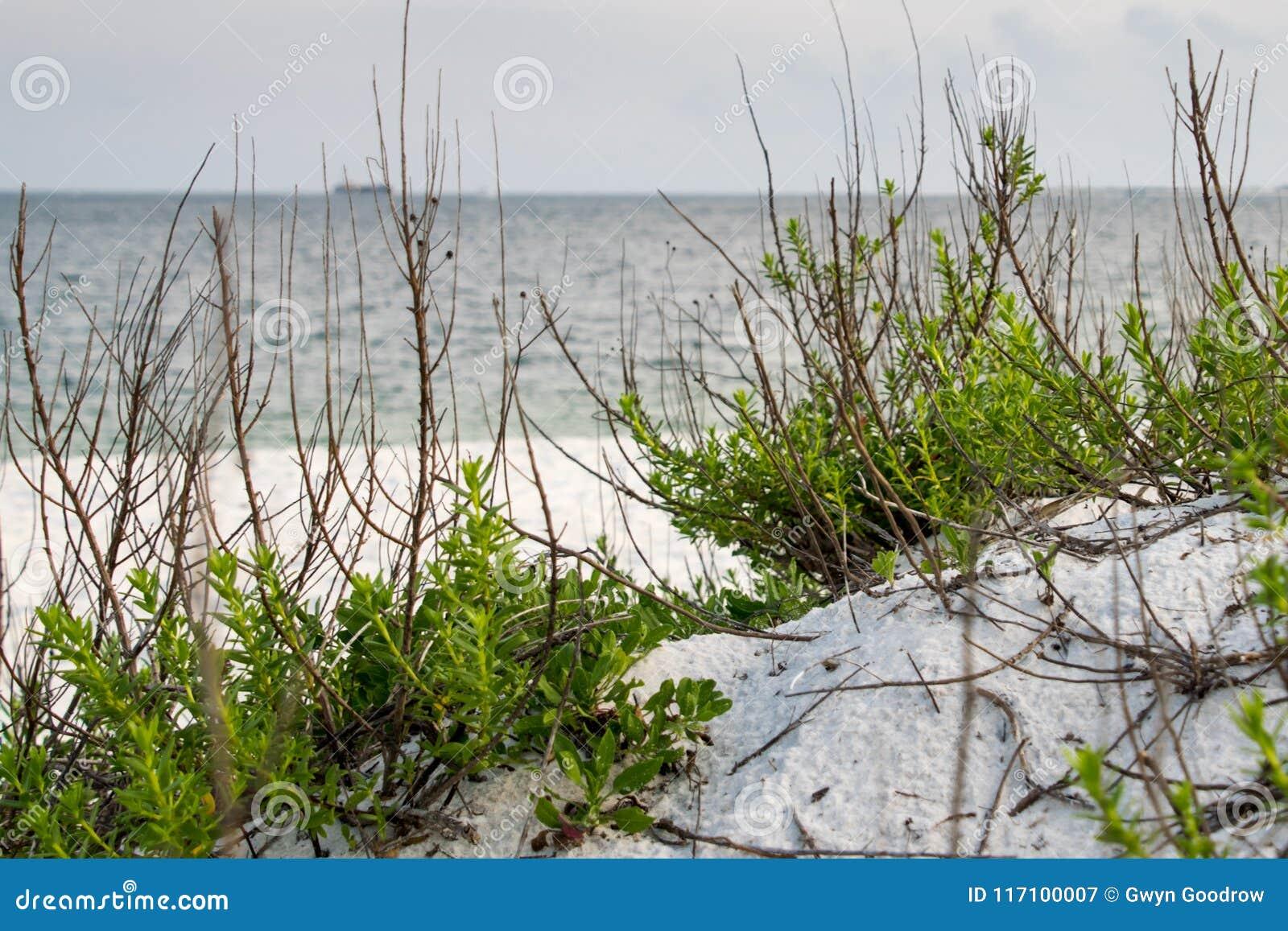海沿海滩海岸线的歼击机杀死Sesuvium portulacastrum