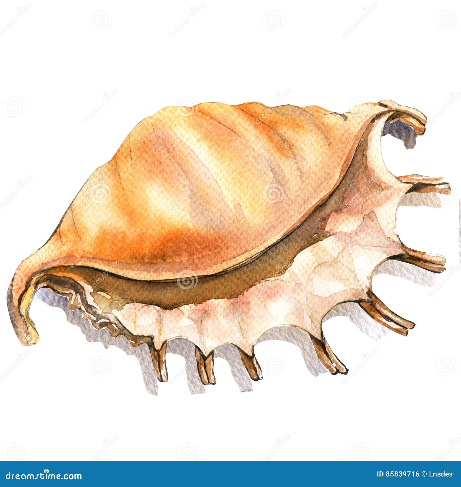 海海扇壳,被隔绝的壳特写镜头,在白色的水彩例证