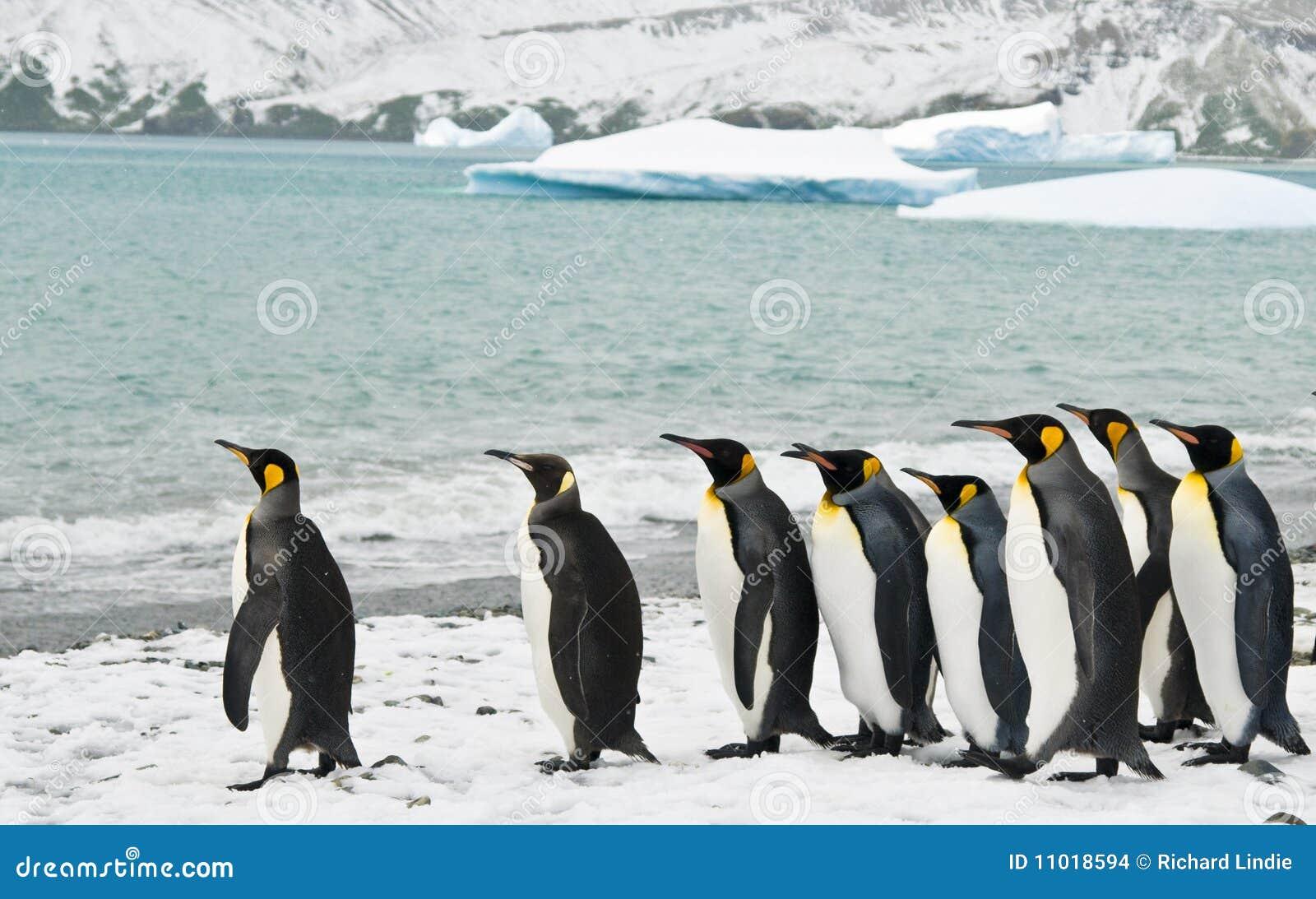 海湾冰冷的企鹅国王