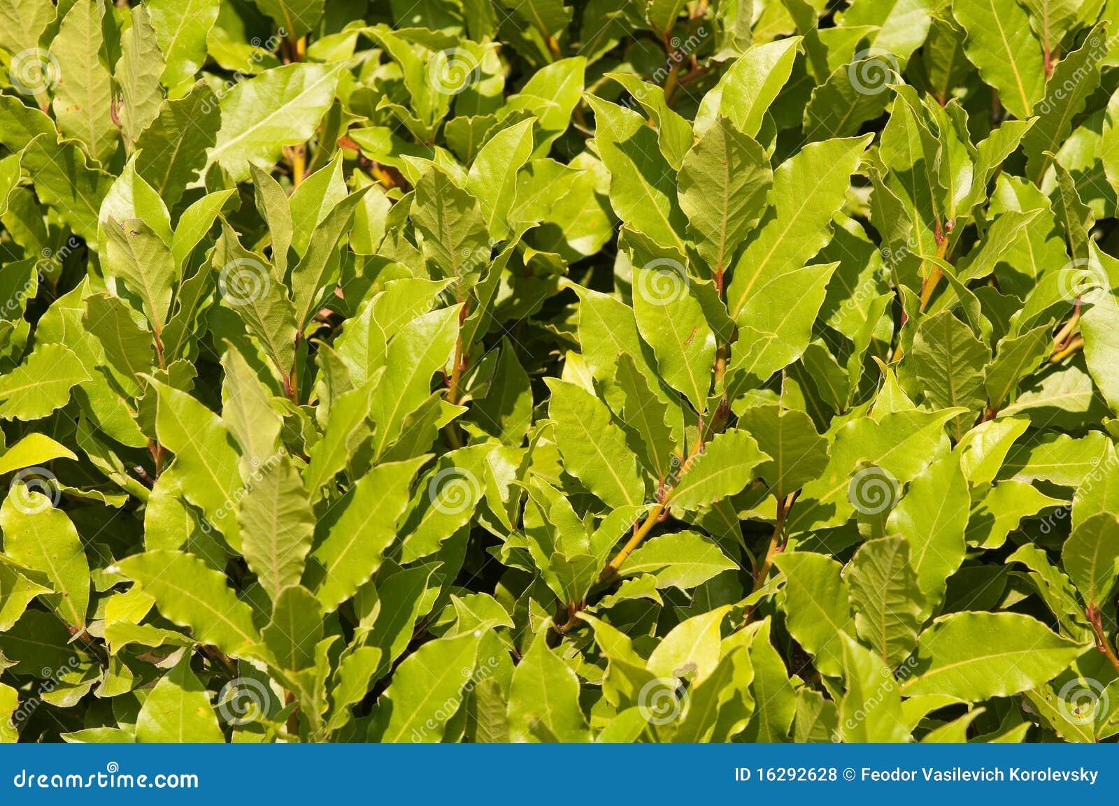 海湾月桂树叶子贵族