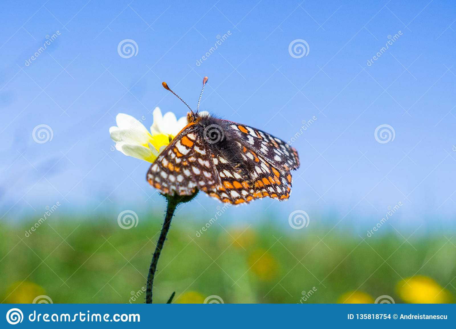 海湾Checkerspot蝴蝶(Euphydryas editha bayensis)在宽舌莱氏菊(Layia platyglossa)野花;分类为a联邦