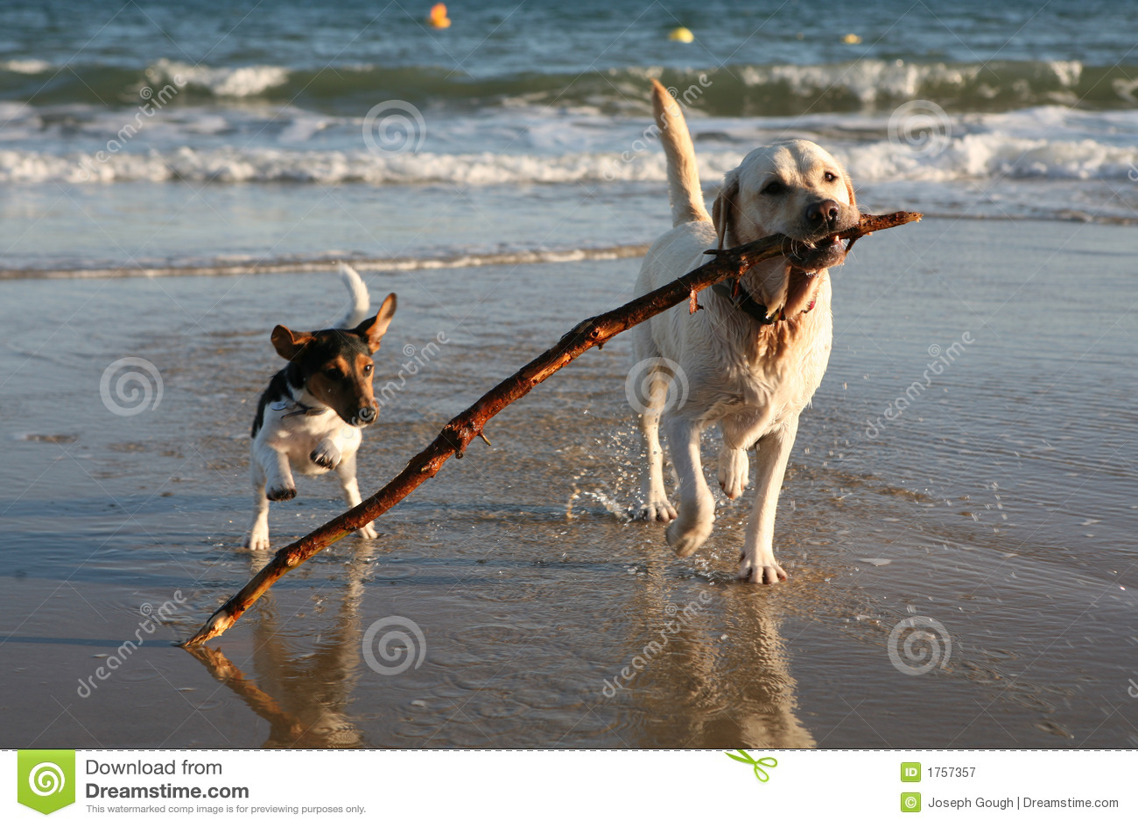 海滩尾随嬉戏的棍子