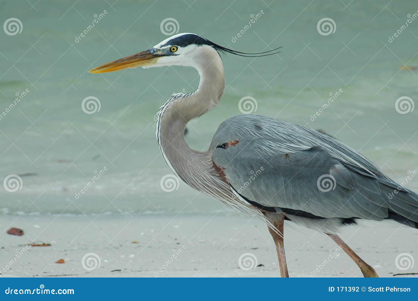 海滩蓝色极大的苍鹭
