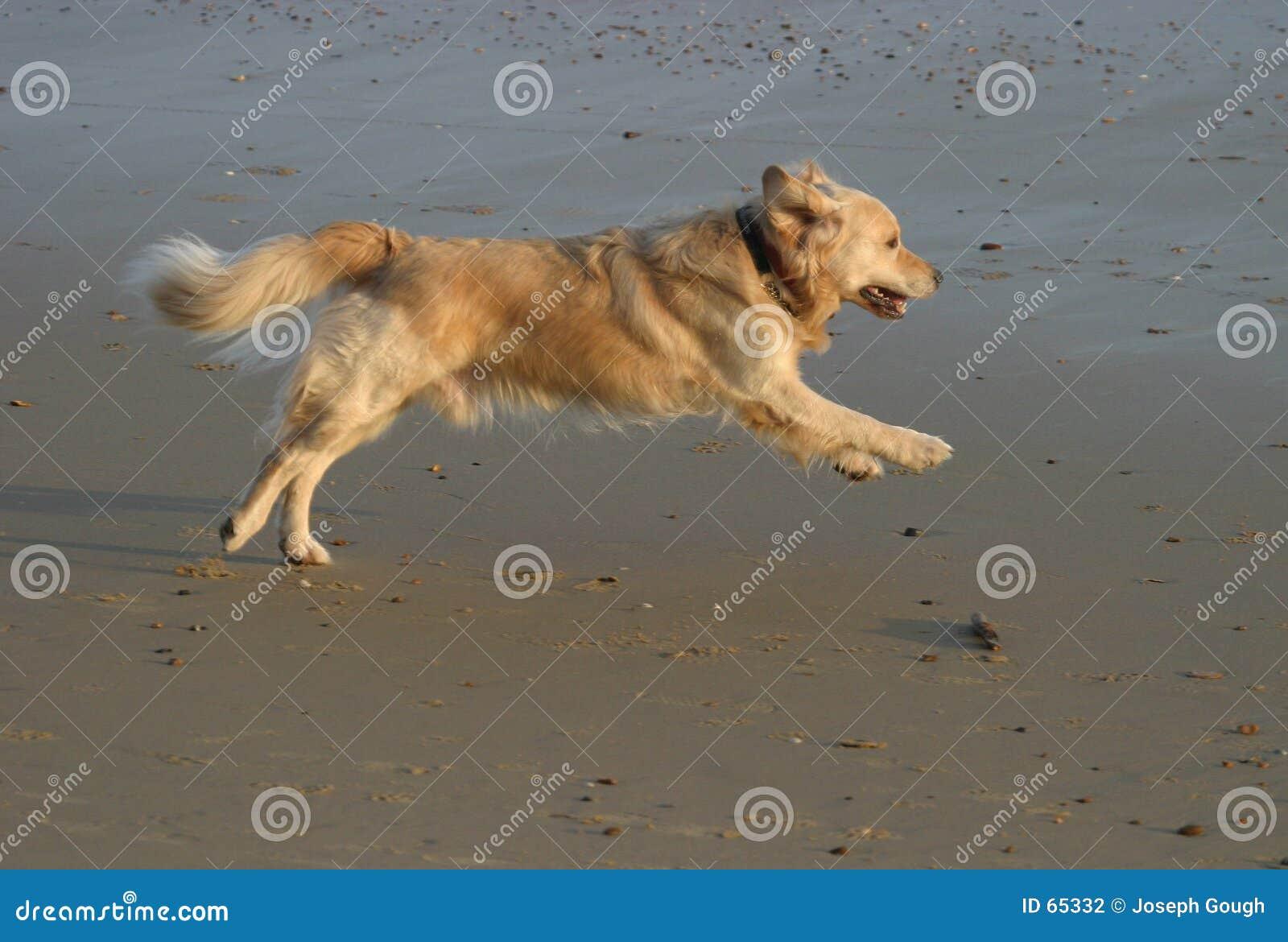 海滩金毛猎犬运行中