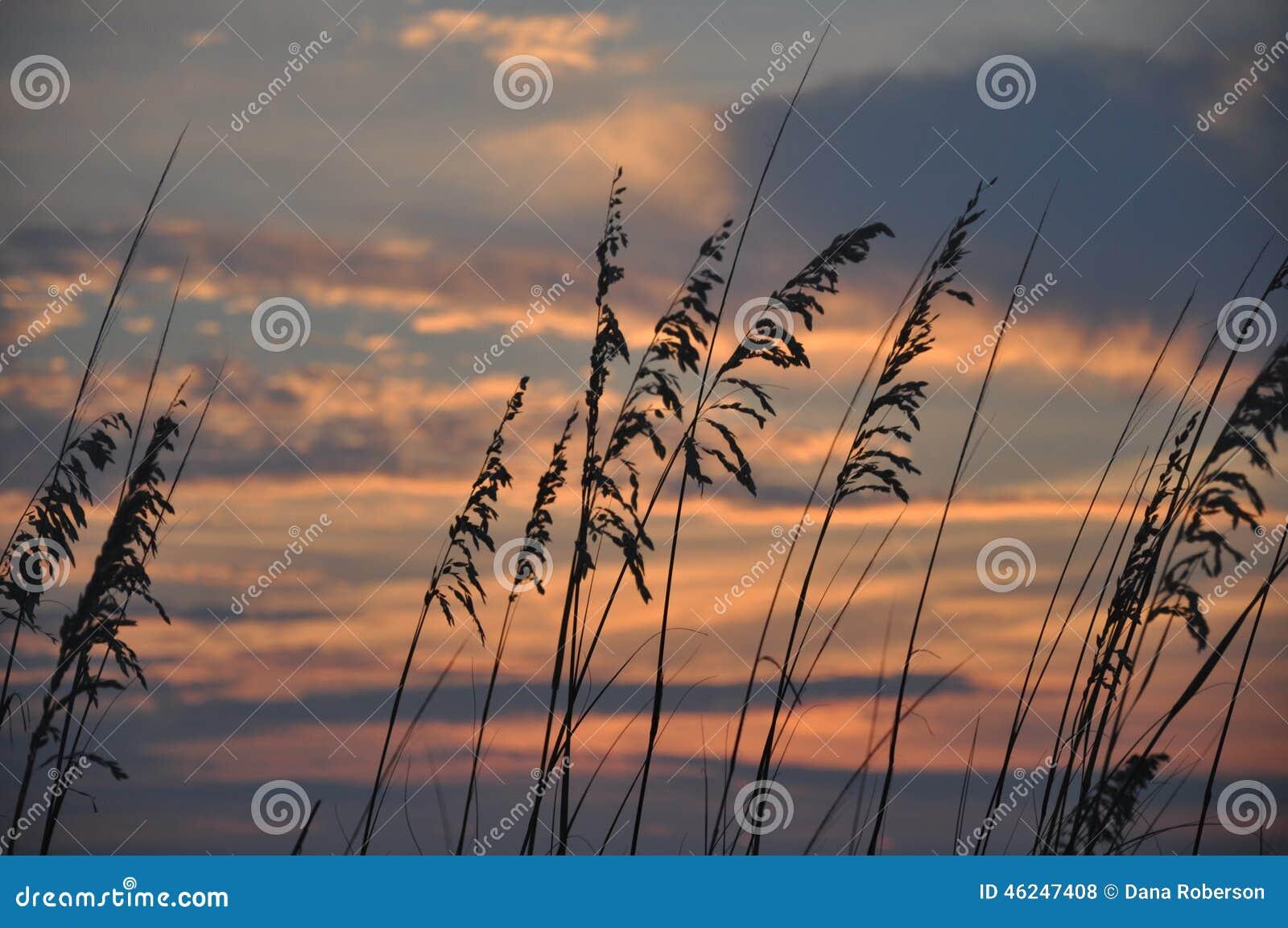 海燕麦日落