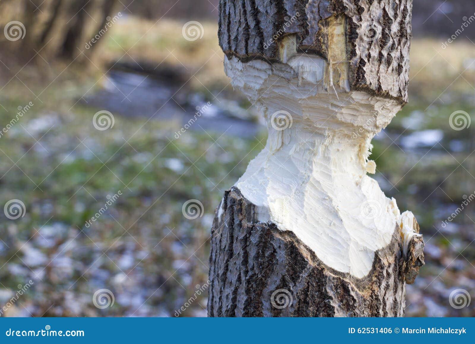 海狸咬了结构树