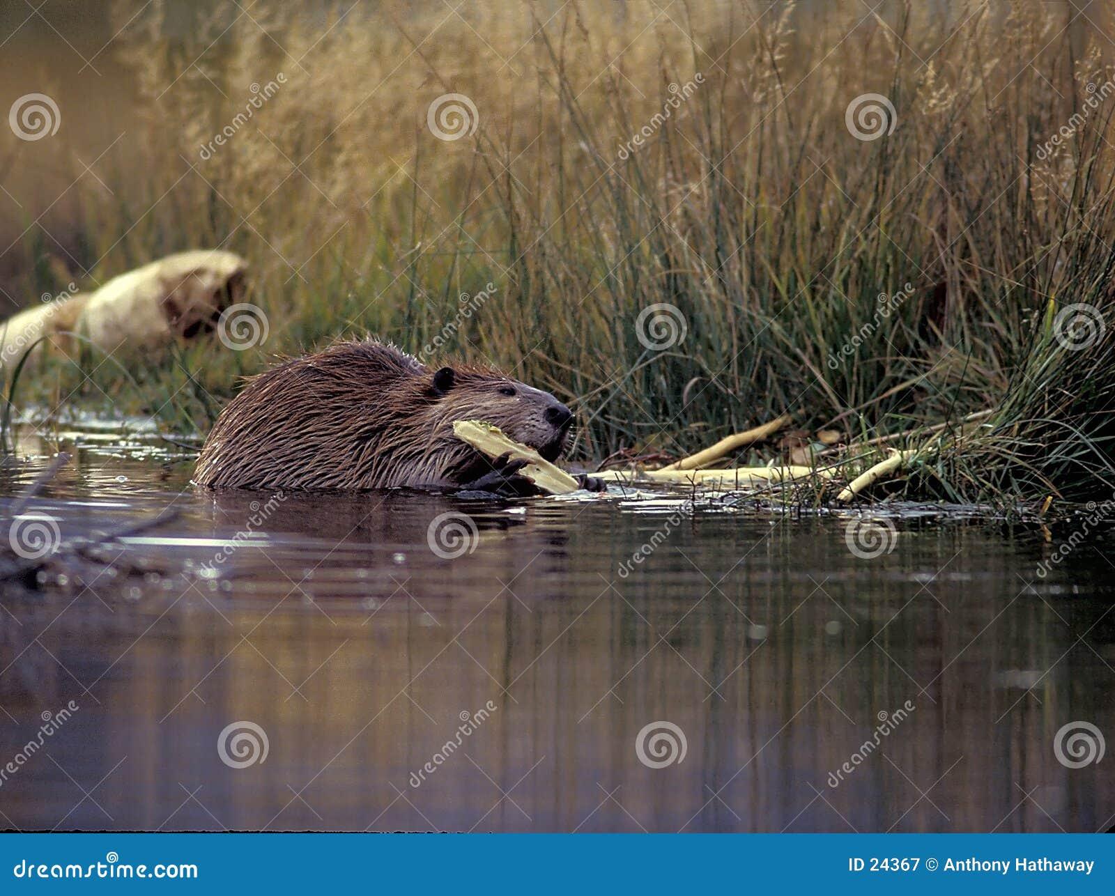 海狸咬木头