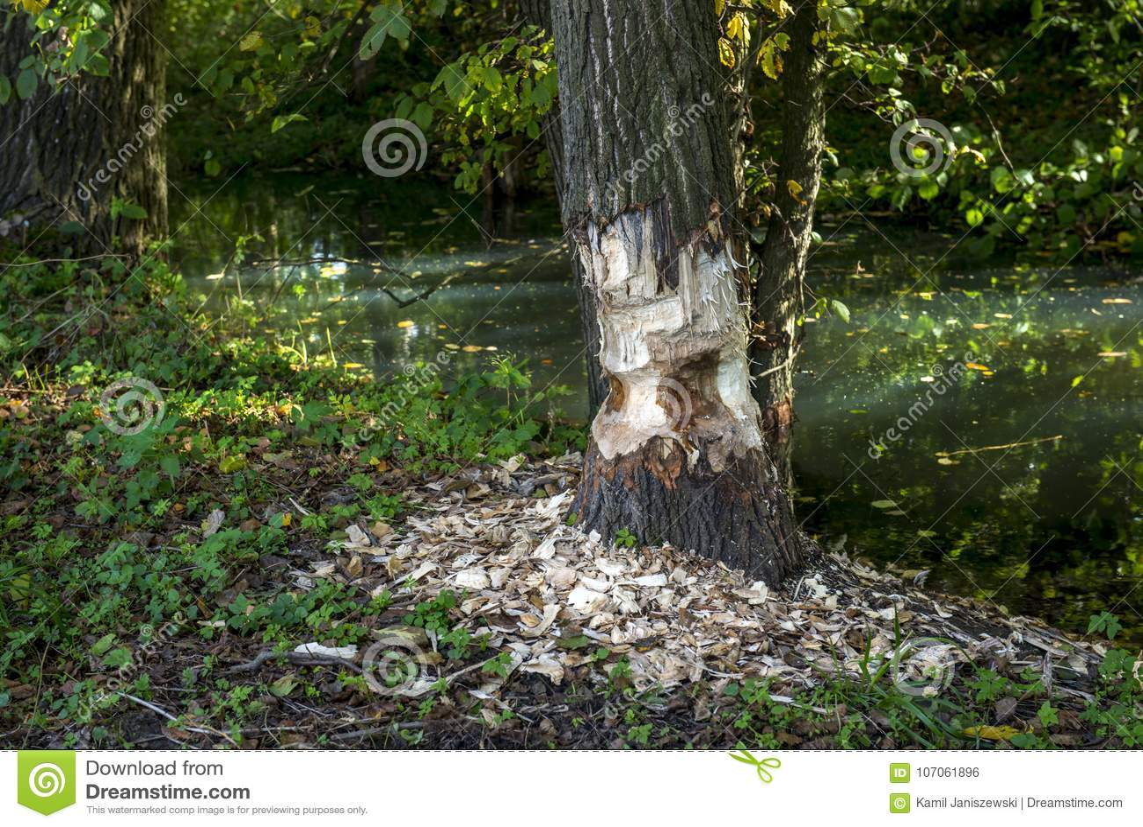 海狸留给工作一半完成!!!树只是半裁减