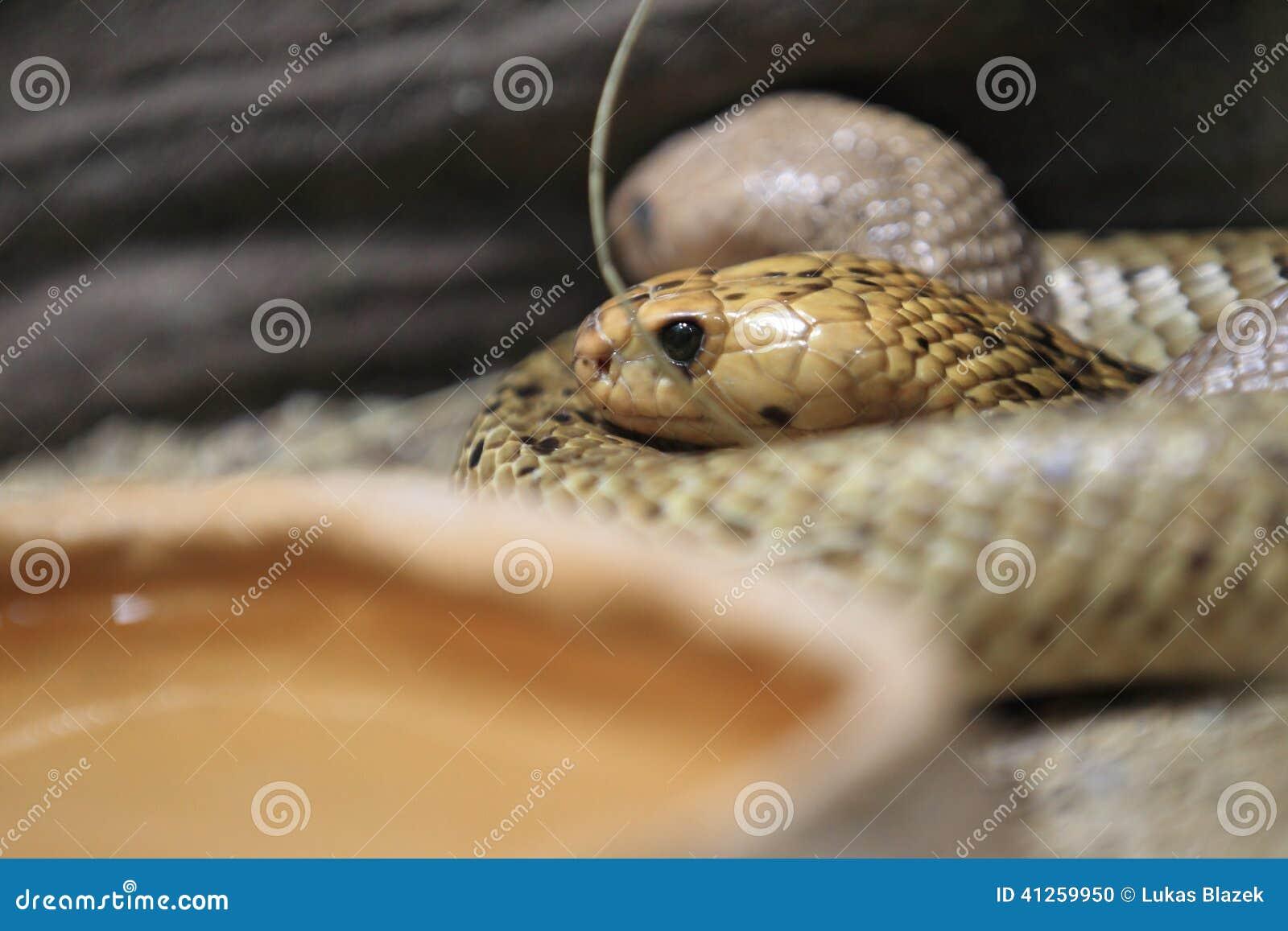 海角眼镜蛇