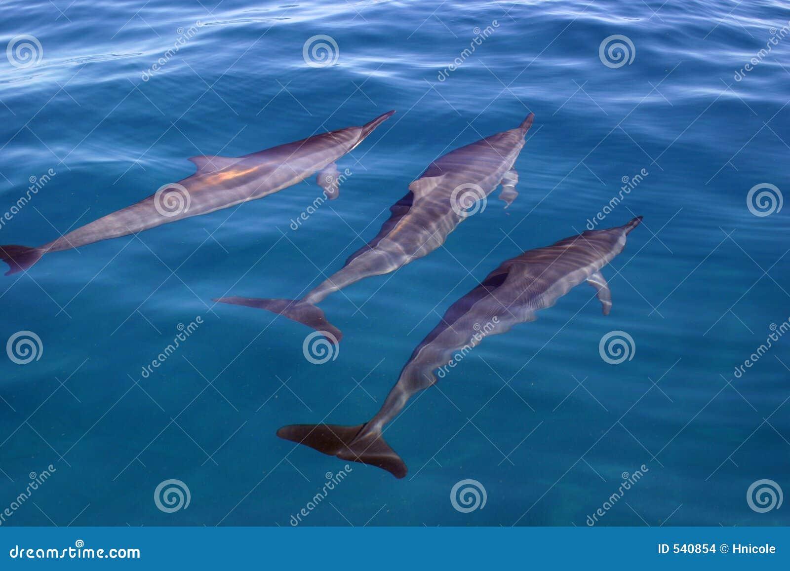 Download 海豚三重奏 库存照片. 图片 包括有 锭床工人, 绿松石, 哺乳动物, 玻璃状, 海运, 海豚, 一起, 考艾岛 - 540854