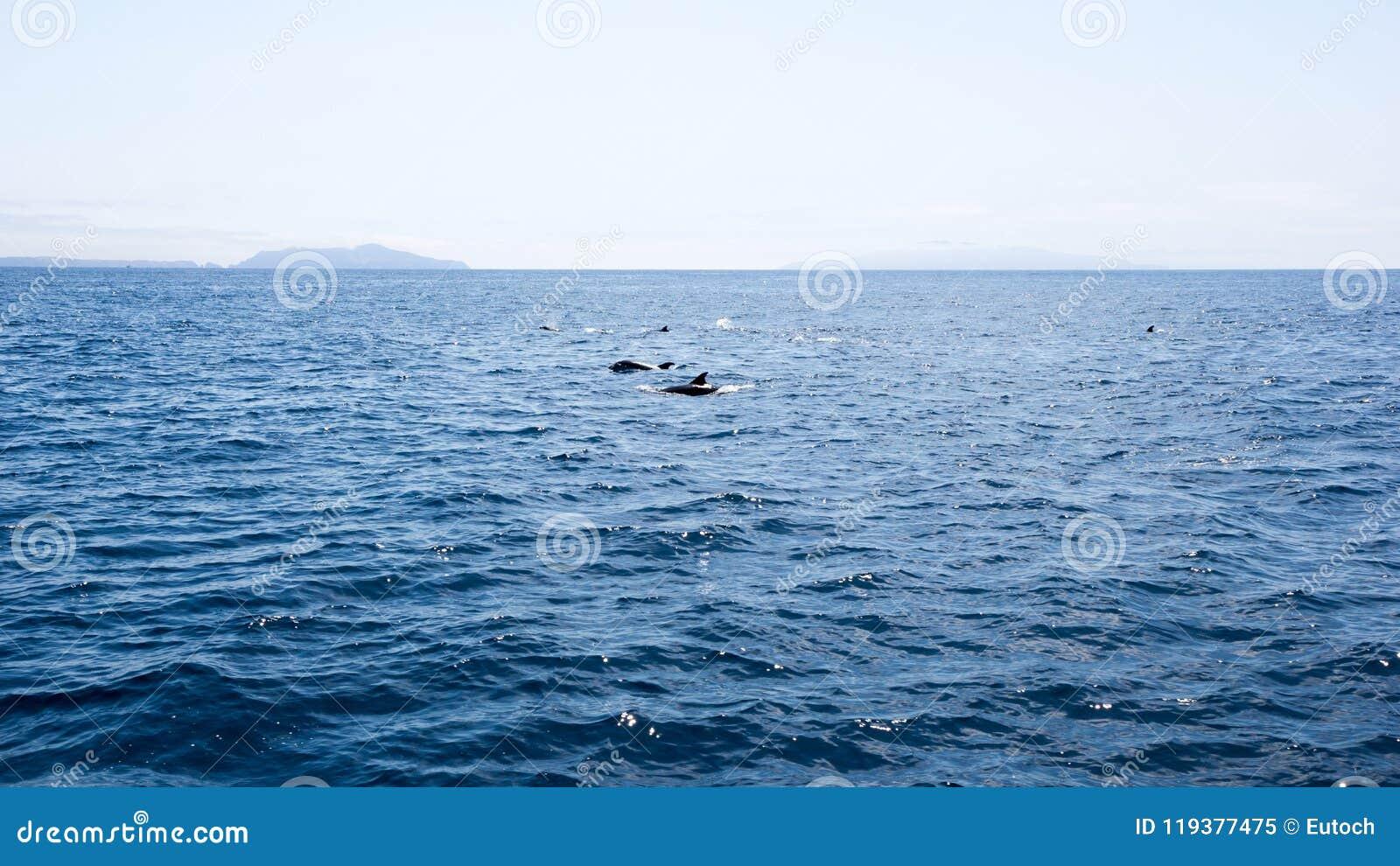 海豚临近Channel岛,加利福尼亚