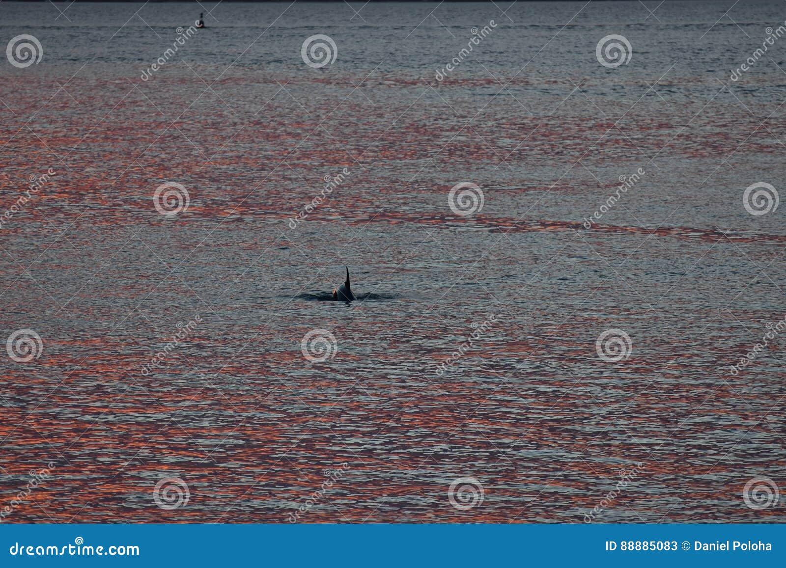 海豚在红色海洋