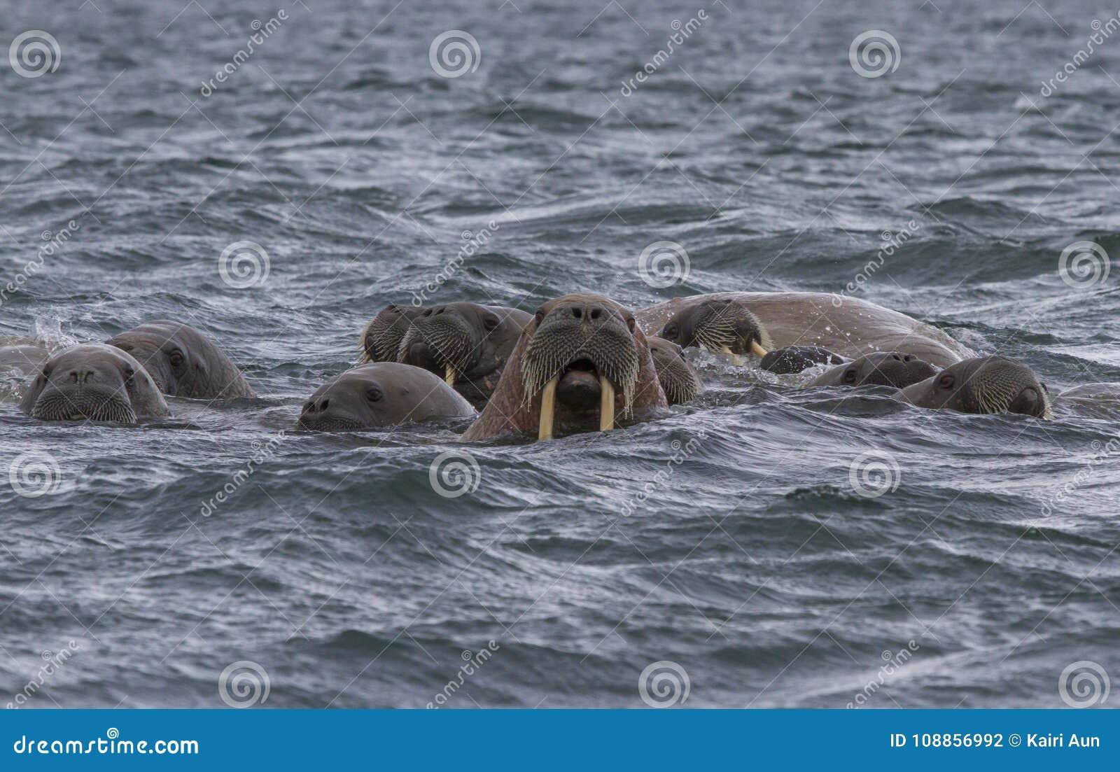 海象在水中在斯瓦尔巴特群岛
