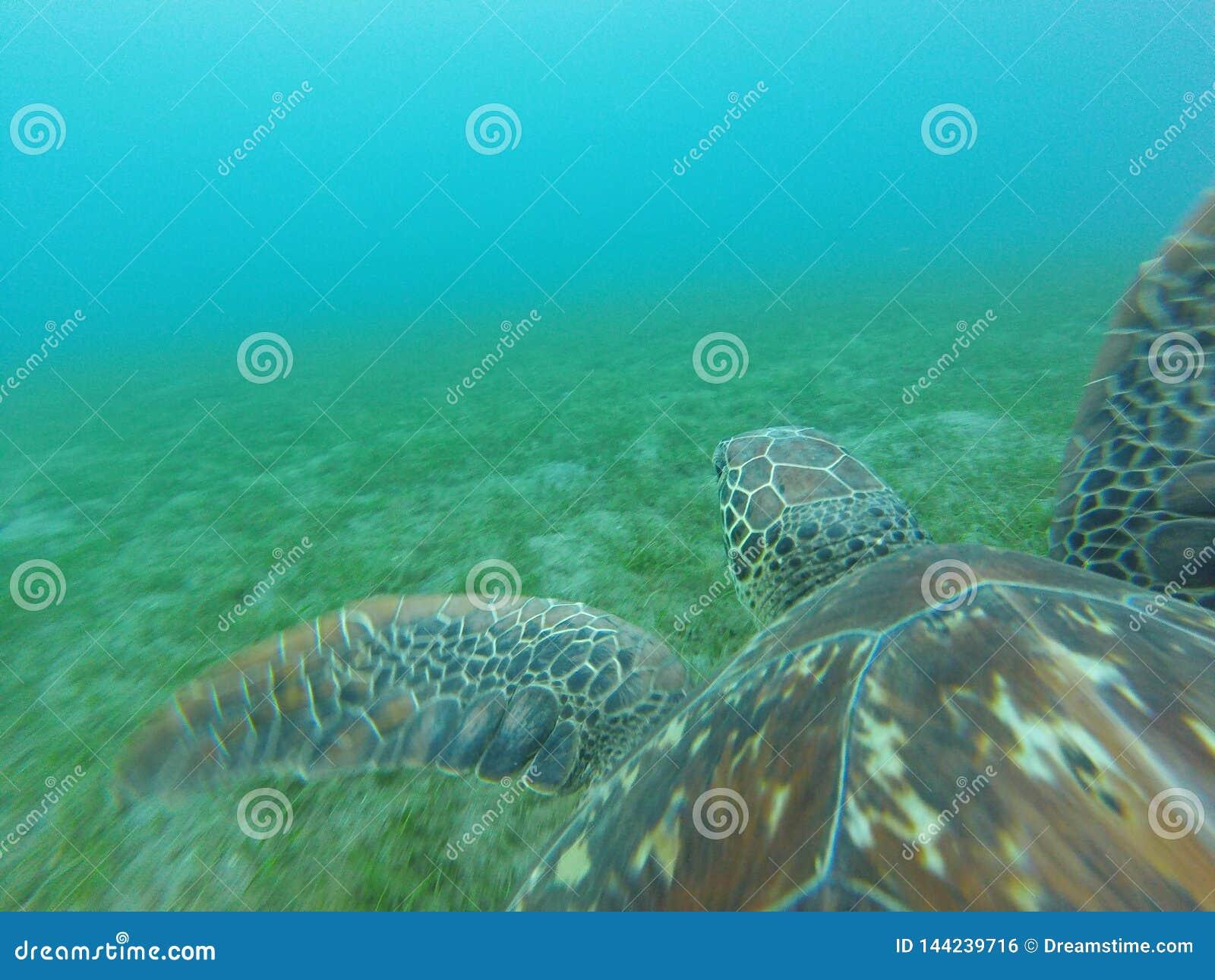 海龟佩戴水肺的潜水