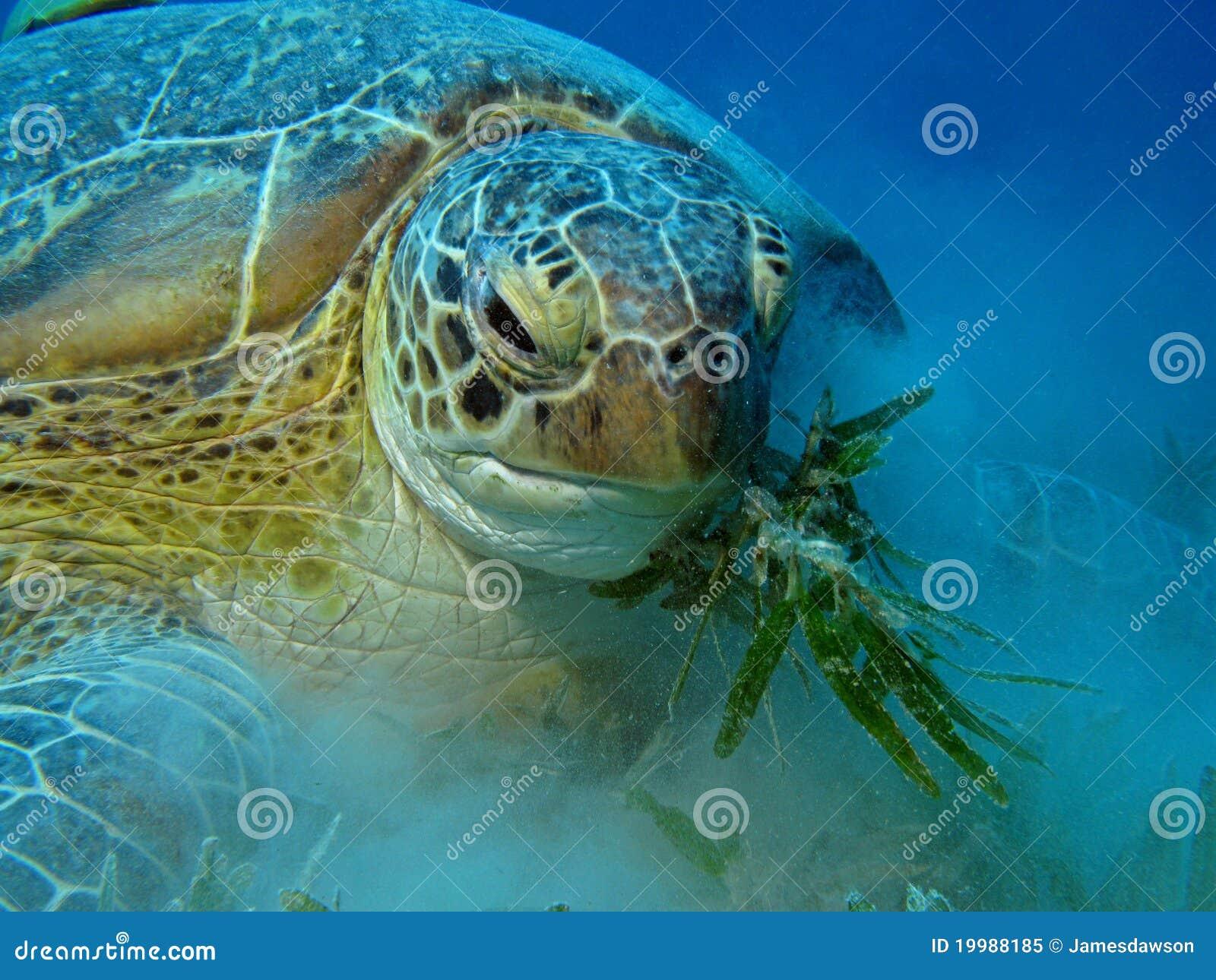 海龟属绿色饥饿的mydas乌龟