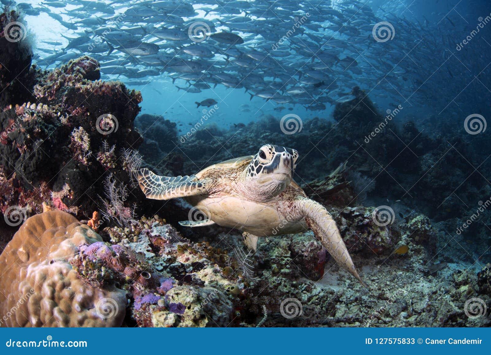 海龟属mydas在礁石的绿浪乌龟