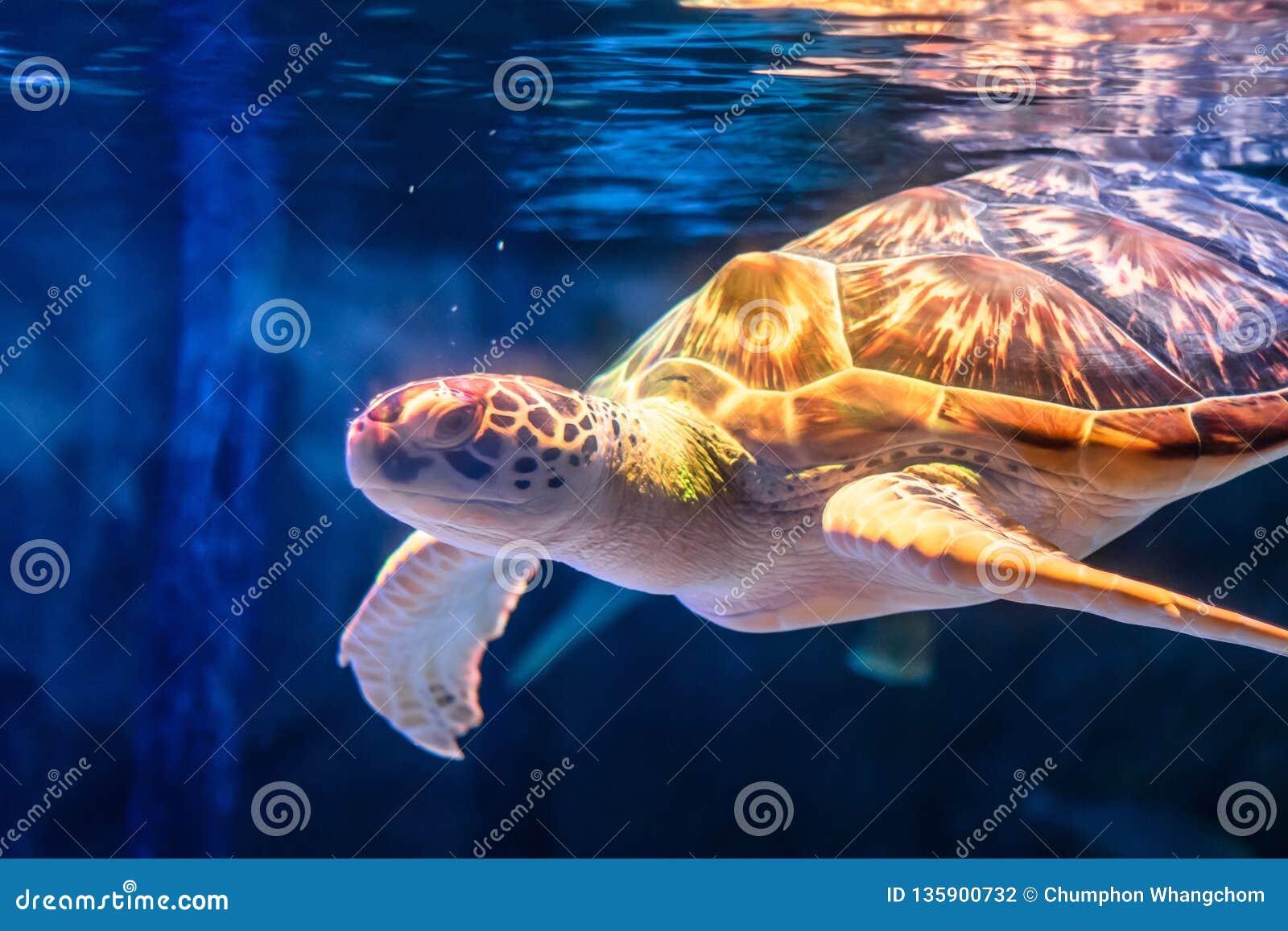 海龟游泳在水下的背景中 草龟在海背景中