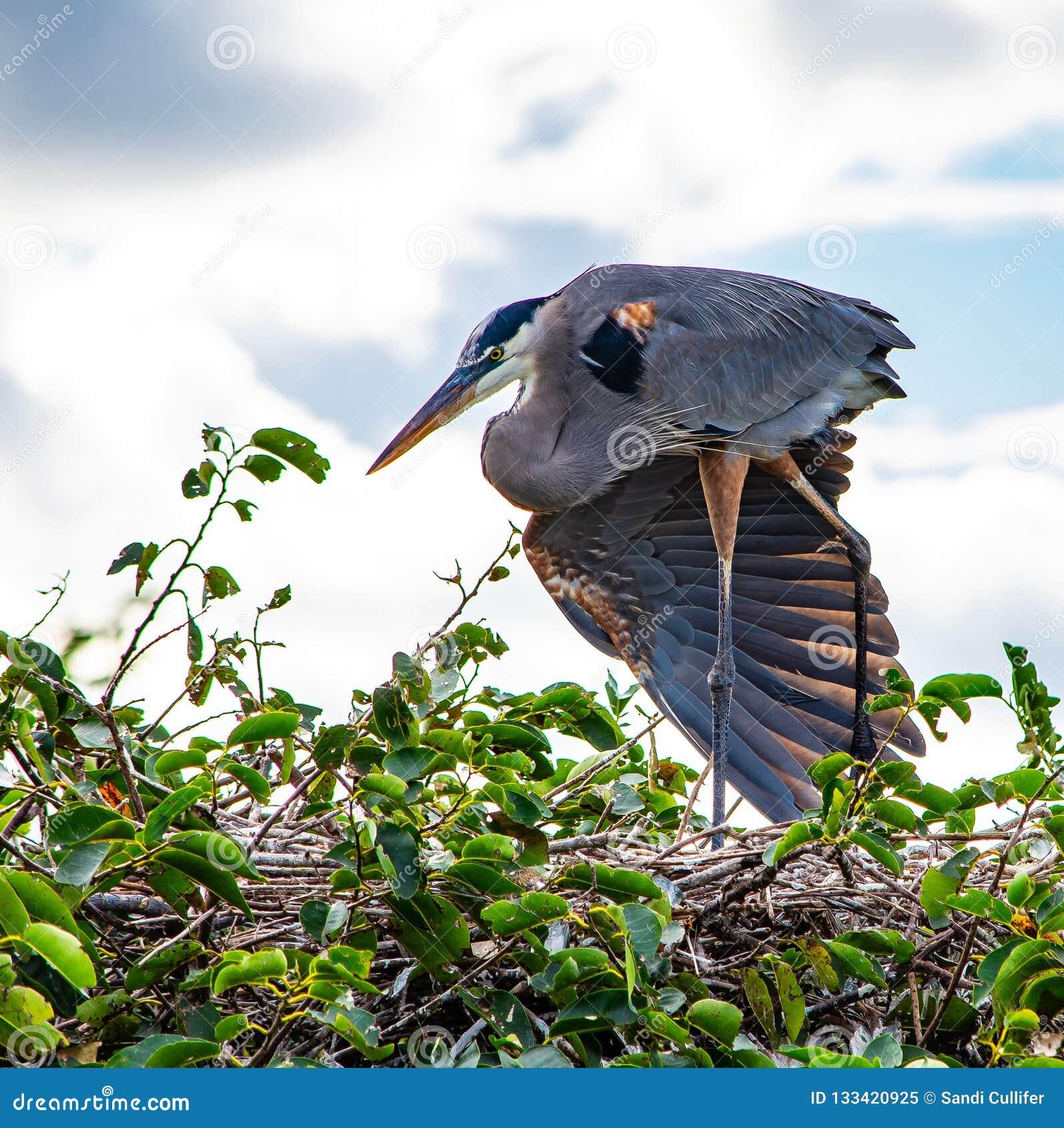 涂一个翼的伟大蓝色的苍鹭的巢