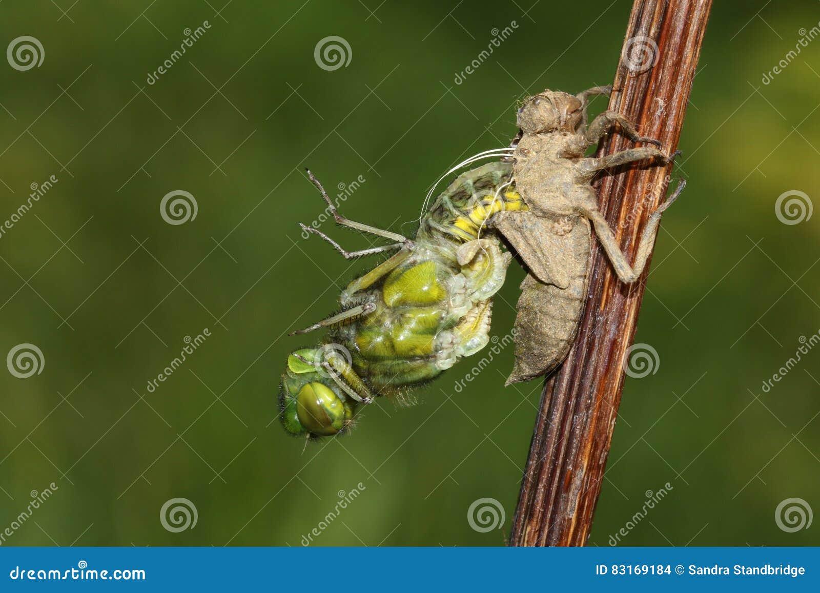 涌现从若虫的后面一宽广的有驱体的追赶者蜻蜓Libellula depressa