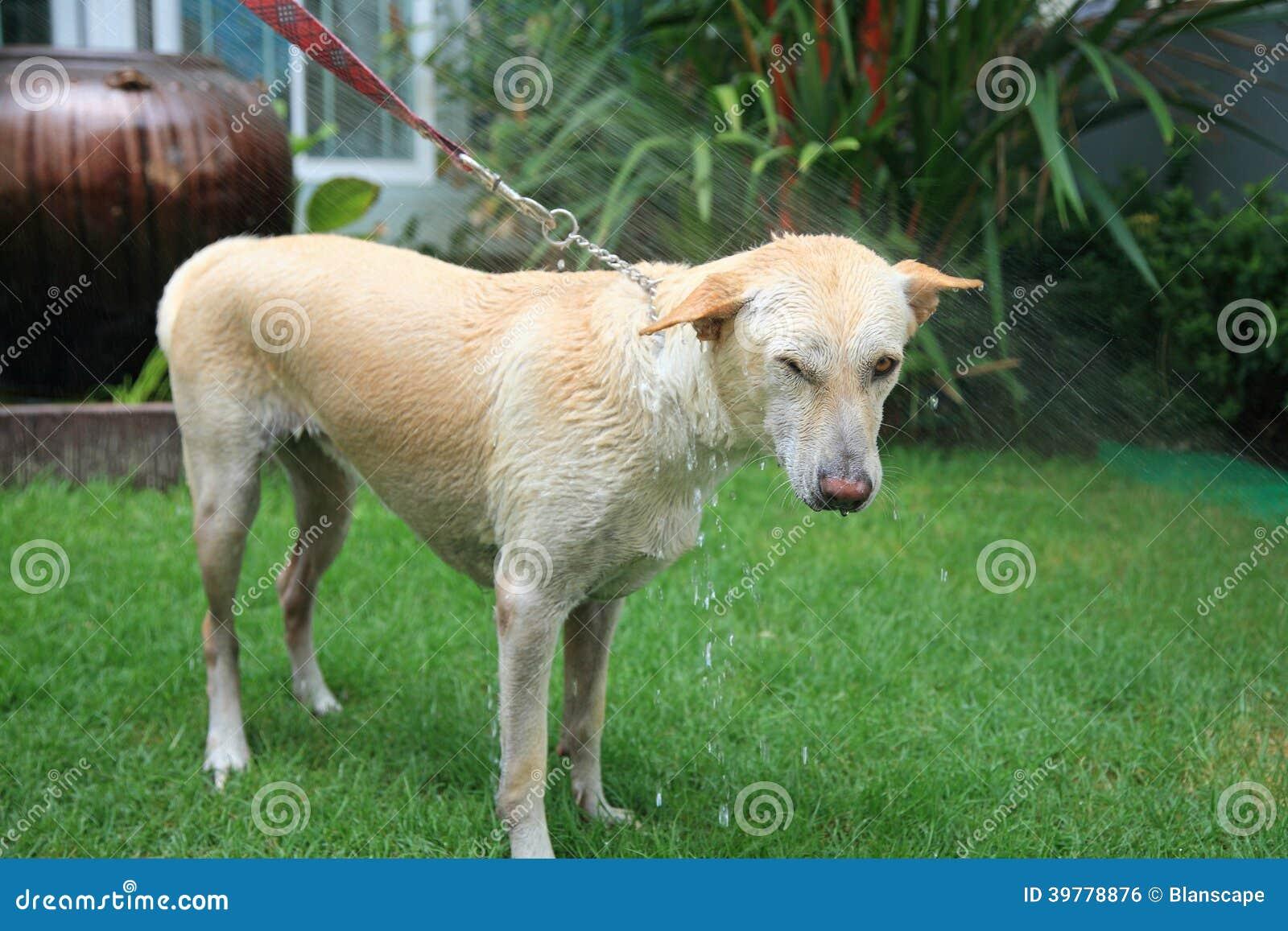 色女和公狗�9��yl#�+_淋浴奶油色狗的喷洒的水在围场.