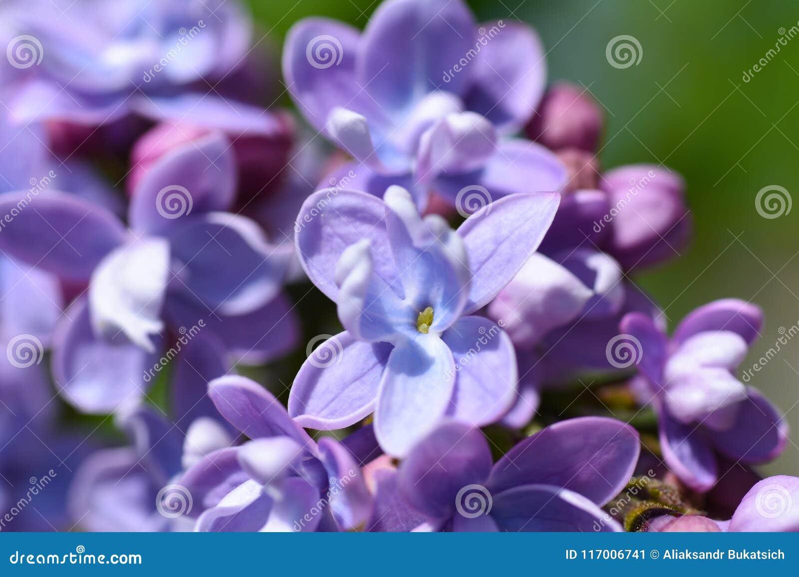 淡紫色灌木的紫色花在春天,关闭开花