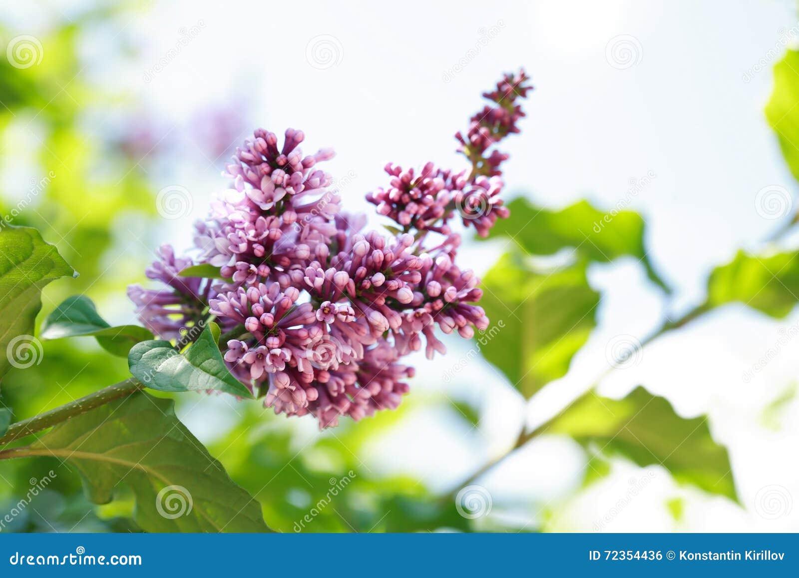 淡紫色紫色枝杈